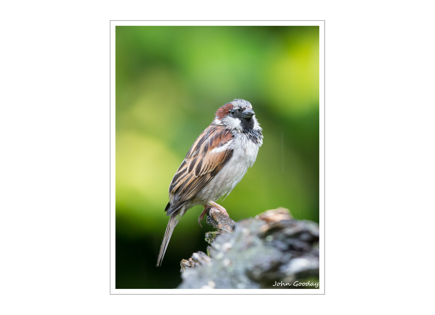 (Image: Rain-soaked House Sparrow photographed on one of the large branches placed along the side of the tray. Canon EOS 1DX, EF500mm f/4L IS II + 12mm extension tuve, 1/200 sec @ f/5, ISO 4000, tripod, hide)