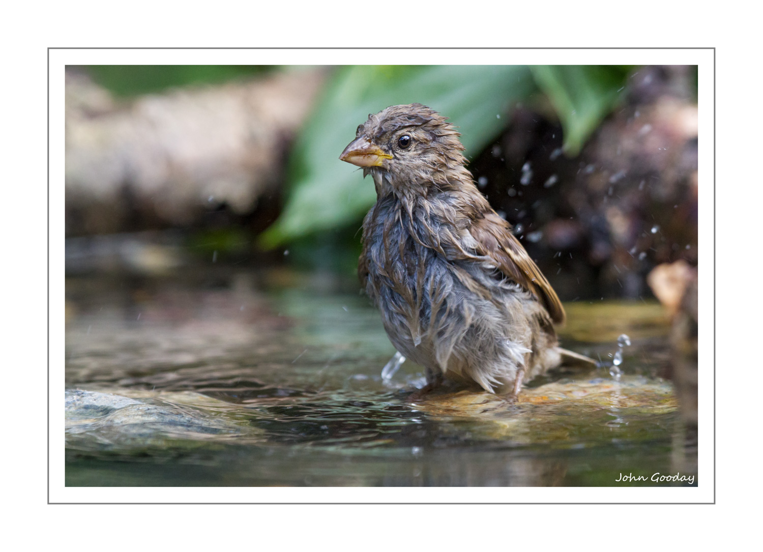 (Image: female House Sparrow. Canon EOS7D, EF100-400mm f/4.5-5.6L IS, 1/500 sec @ f/6.3, ISO 1600, tripod, hide)