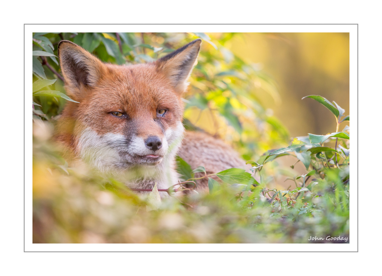 (Image: female Fox resting on a Clematis-covered flat roof. Canon EOS 1DX, EF500mm f/4L IS II + 1.4x III, 1/500 sec @ f/5.6, ISO 2000)