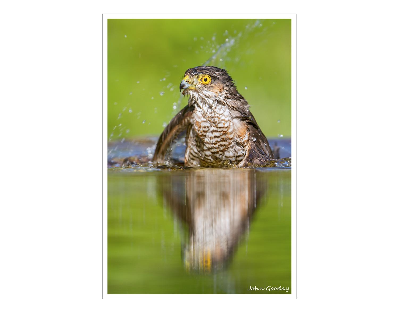 (Image: Sparrowhawk. Canon EOS 7D,  EF300mm f/2.8L IS + 1.4x II, 1/500 sec @ f/4, ISO 320, tripod, hide)
