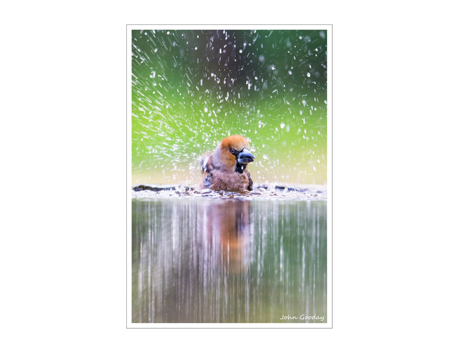 (Image: Hawfinch bathing vigorously. Canon EOS 1DX, EF300mm f/2.8L IS + 1.4x III, 1/320 sec @ f/7.1, ISO 2000, tripod, hide)