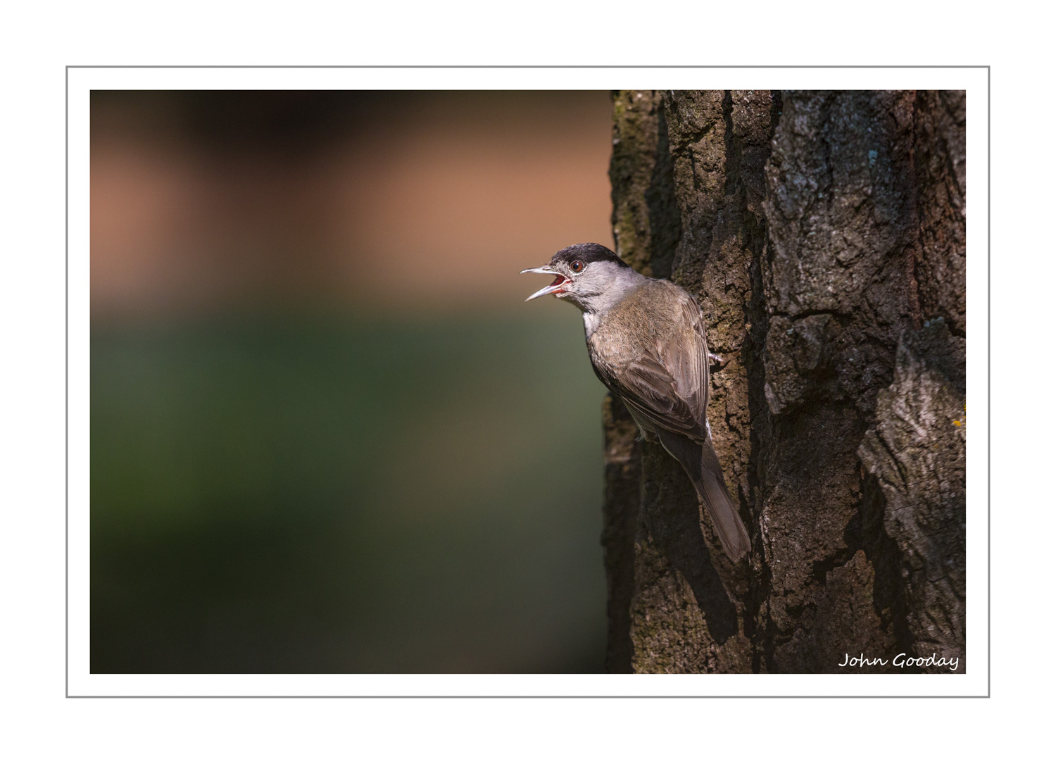 (Image: Blackcap calling from a tree near a pool. Canon EOS 5D Mark III, EF500mm f/4L IS II, 1/1000 sec @ f/4.5, ISO 640, tripod, hide)