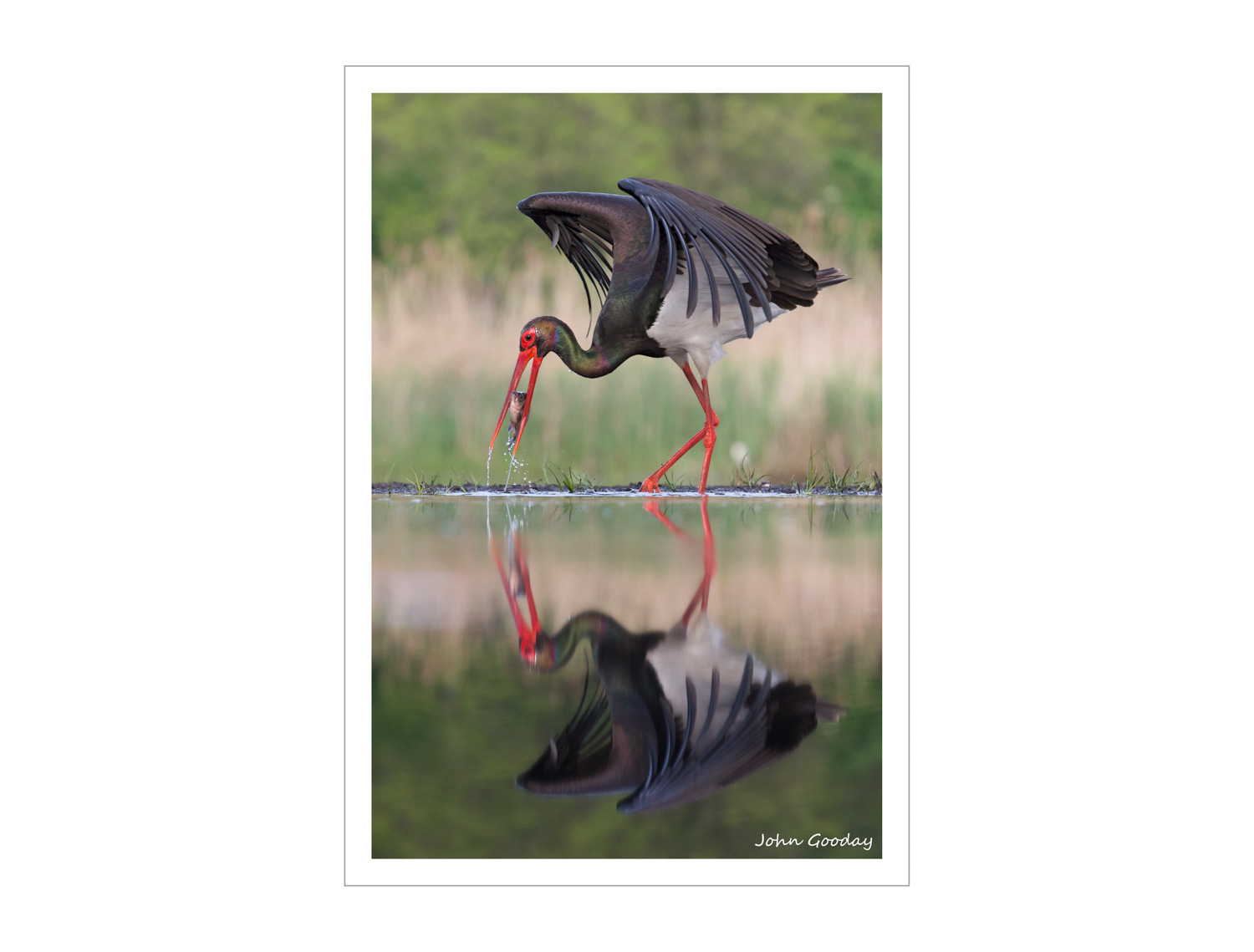 (Image: Black Stork catching a fish. Canon EOS 1DX, EF70-200mm f/2.8L IS II, 1/1600 sec @ f/5, ISO 1250, tripod, hide)