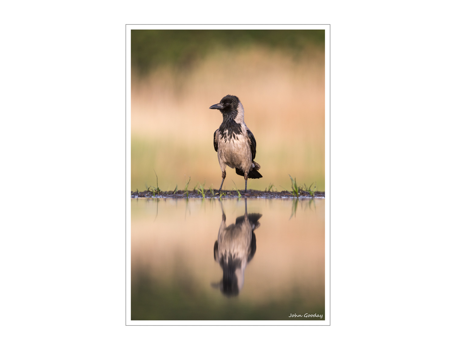 (Image: Hooded Crow. Canon EOS 5D Mark III, EF300mm f/2.8L IS + 1.4x III, 1/800 sec @ f/5, ISO 640, tripod, hide)