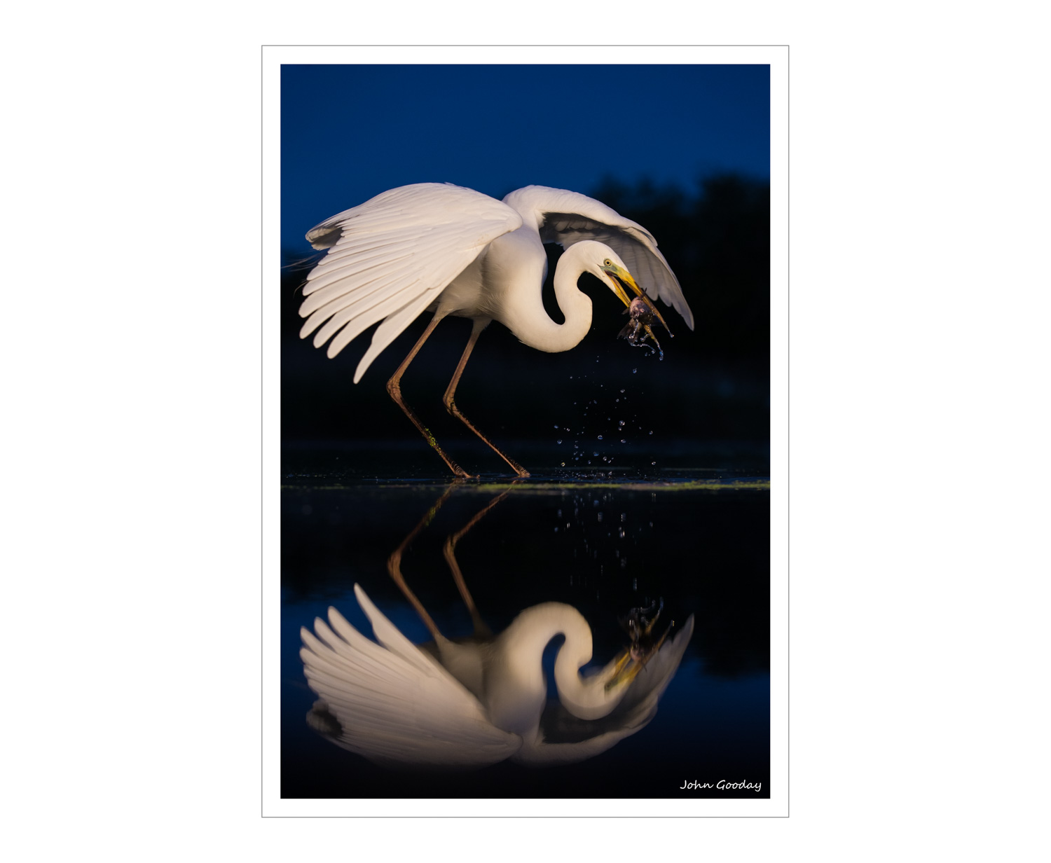 (Image: Great Egret fishing in pre-dawn light. Canon EOS 1DX, EF70-200mm f/2.8L IS II, 1/1000 sec @ f/4, ISO 1250, tripod, hide, halogen lights)