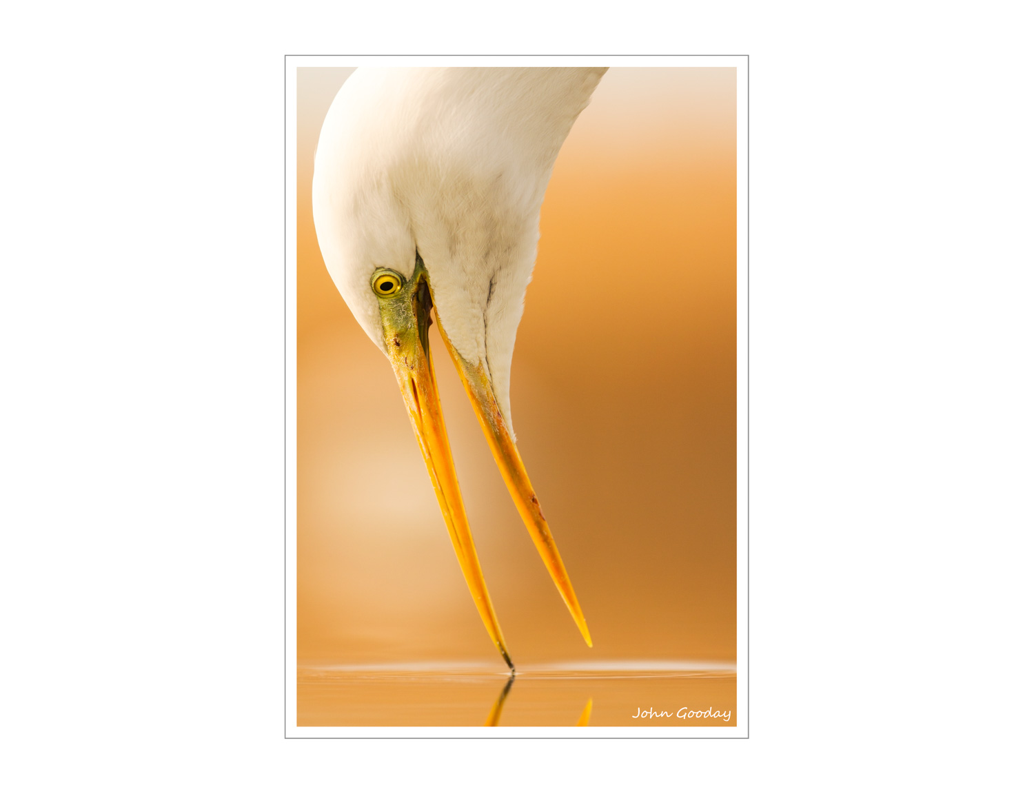 (Image: Getting close to a Great Egret. Canon. EOS 7D, EF300mm f/2.8L IS, 1/1000 sec @ f/4, ISO 400, tripod, hide)