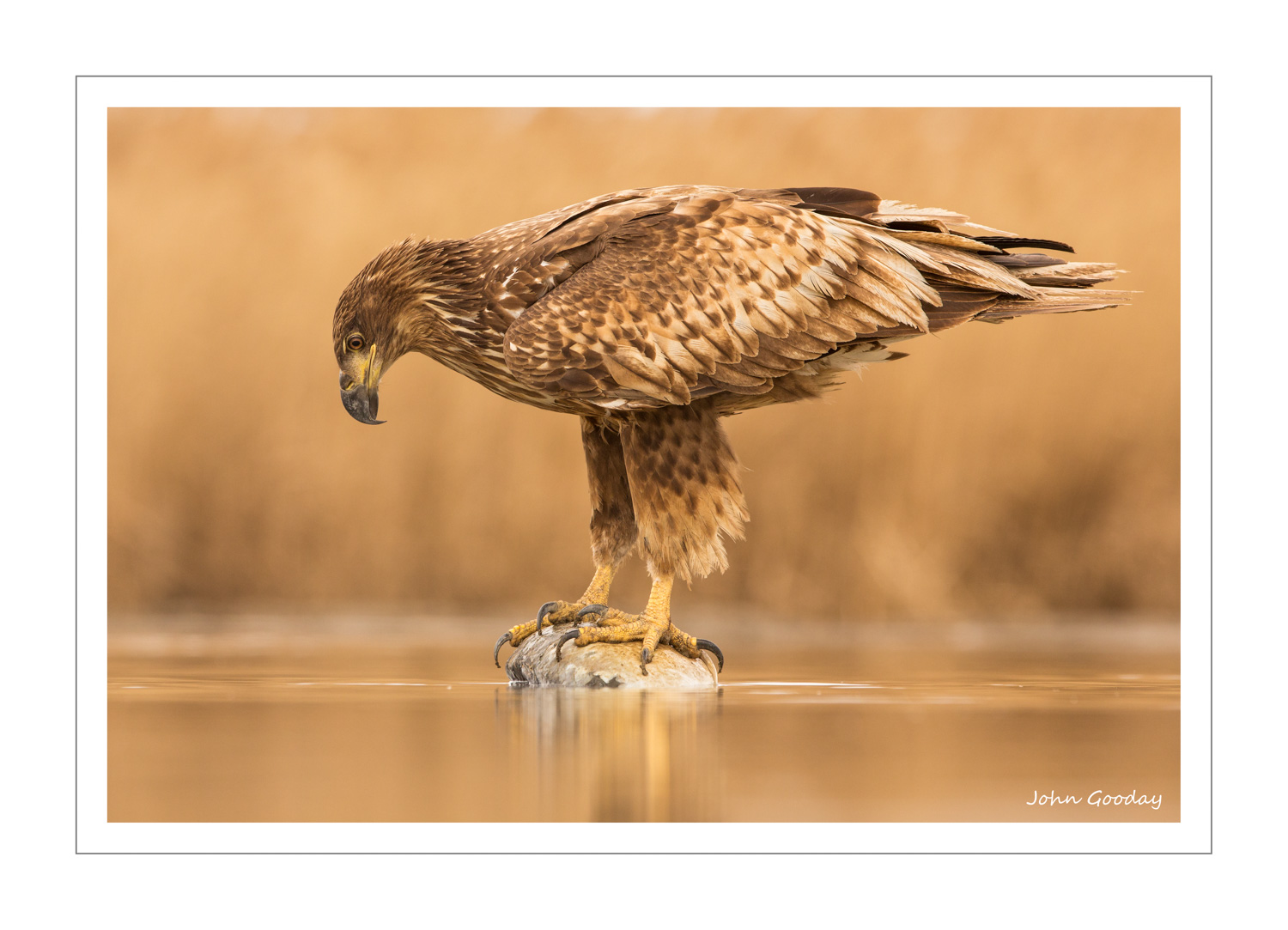 (Image: White-tailed Eagle. Canon EOS 5D Mark III, EF300mm f/2.8L IS, 1/500 sec @ f/5.6, ISO 800, tripod, hide)
