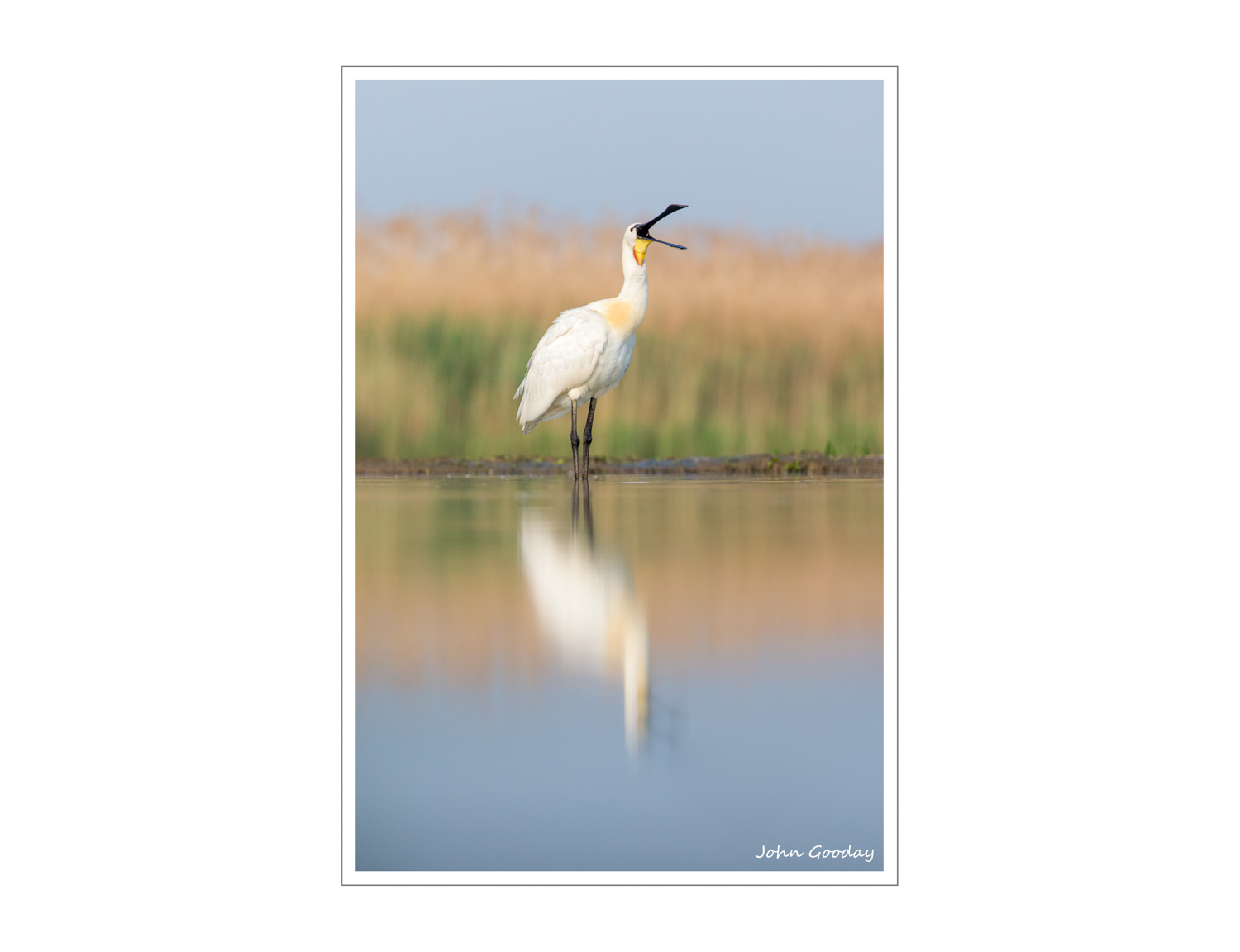 (Image: Spoonbill calling. Canon EOS 1DX, EF300mm f/2.8L IS, 1/1600 sec @ f/5, ISO 640, tripod, hide).