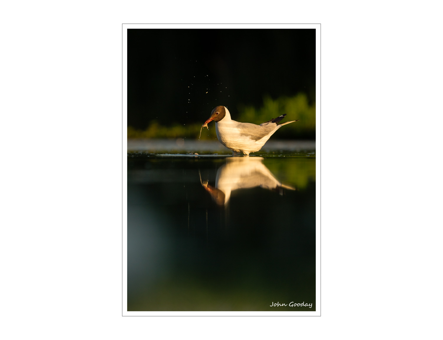 (Image: Black-headed Gull fishing. Canon EOS 5D Mark III, EF 500mm f/4L IS II, 1/640 sec @ f/5.6, ISO 400, tripod, hide).