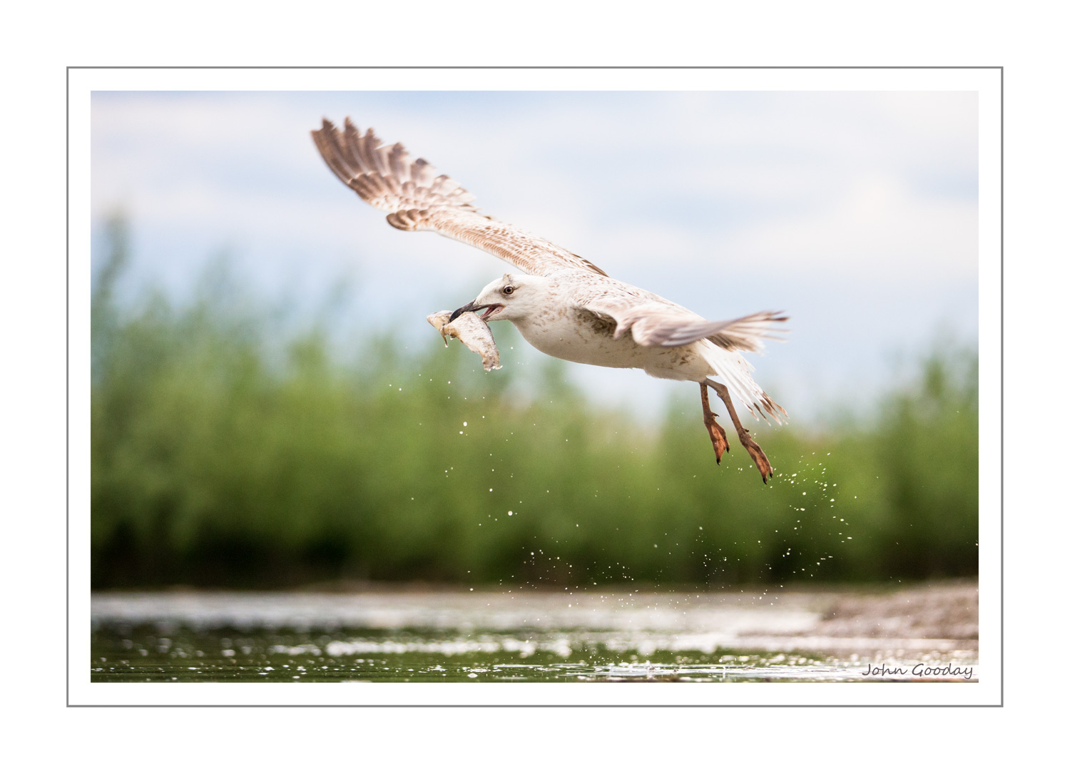 (Image: Yellow-legged Gull fishing. Canon EOS 1DX, EF70-200mm f/2.8L IS II, 1/1250 sec @ f/2.8, ISO 2000, tripod, hide)