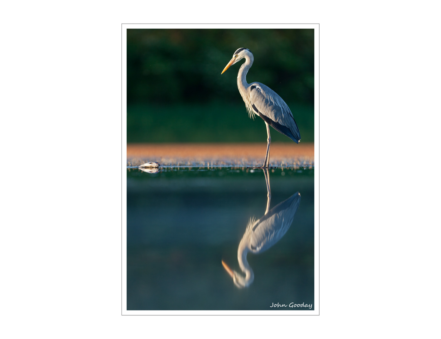 (Image: Grey heron. Canon EOS 5D Mark II, EF300mm f/2.8L IS, 1/320 sec @ f/2.8, ISO 200, tripod, hide).