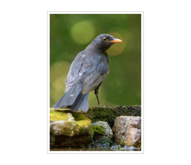 blackbird 8 bit sRGB WEBFRAME padded  _70R1370  Website.jpg