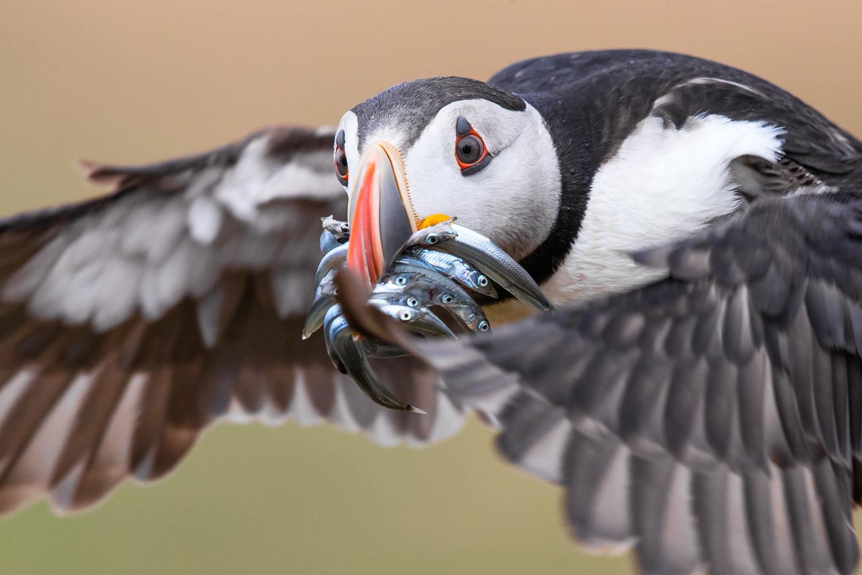 puffin flight close-up _A8I9895.jpg