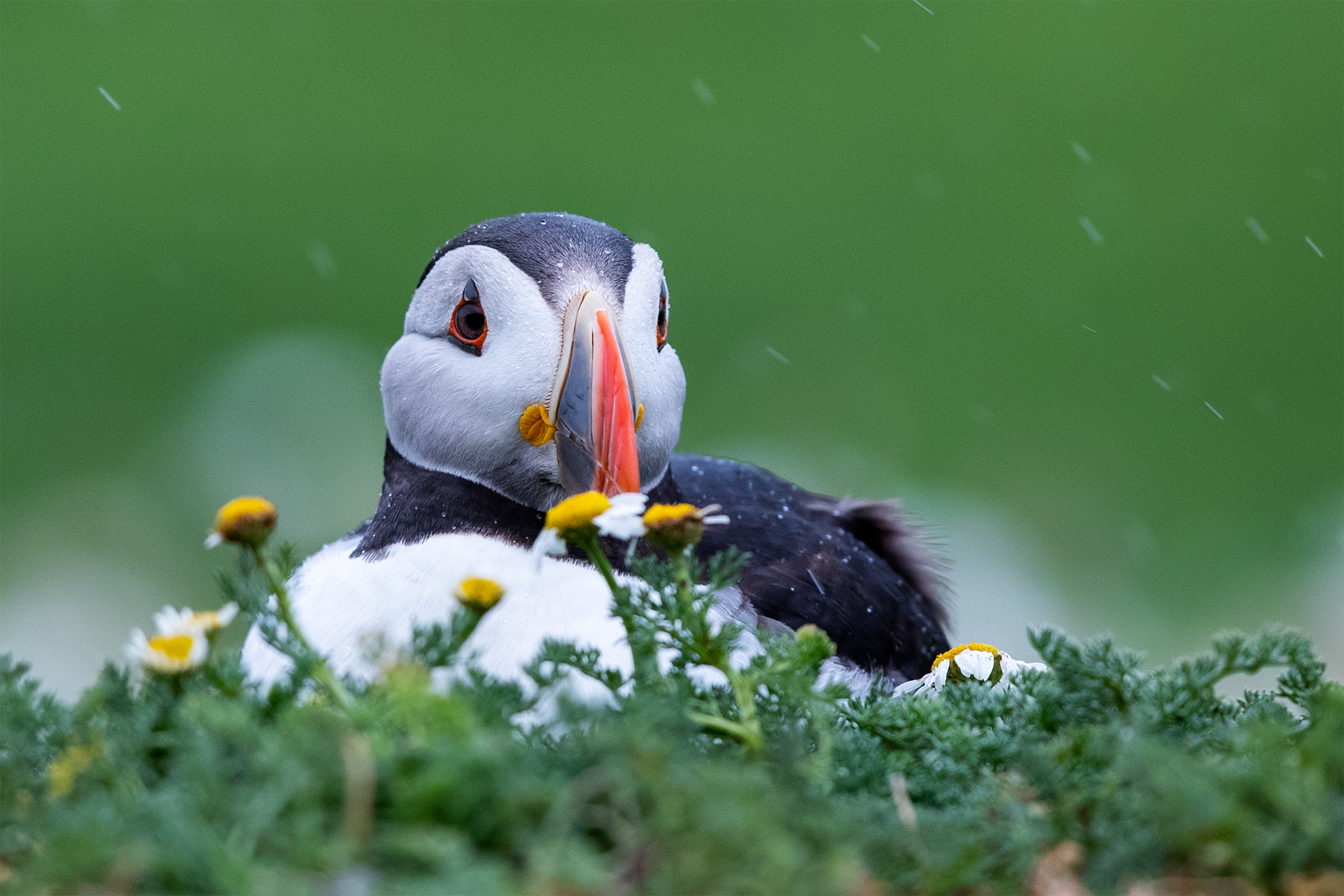 puffin noise reduction _A8I8093.jpg