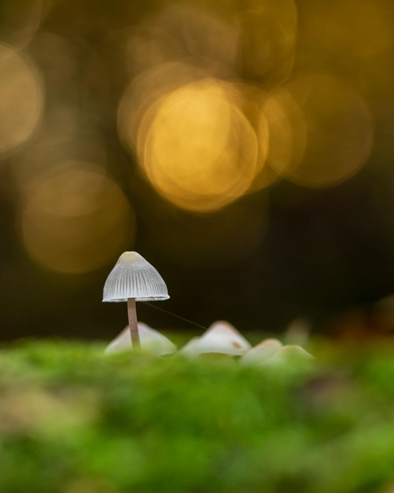 Photo 1: Angel's Bonnet mushrooms backlit by the setting sun in woodland. 5D III, 100mm f/2.8 macro II, 1/25, f/4, ISO 125, speedlite with 0.5 CTO gel, beanbag