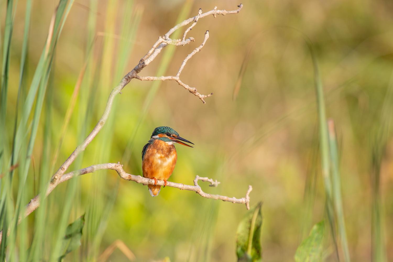kingfisher bright morning sun _D5A6772.jpg
