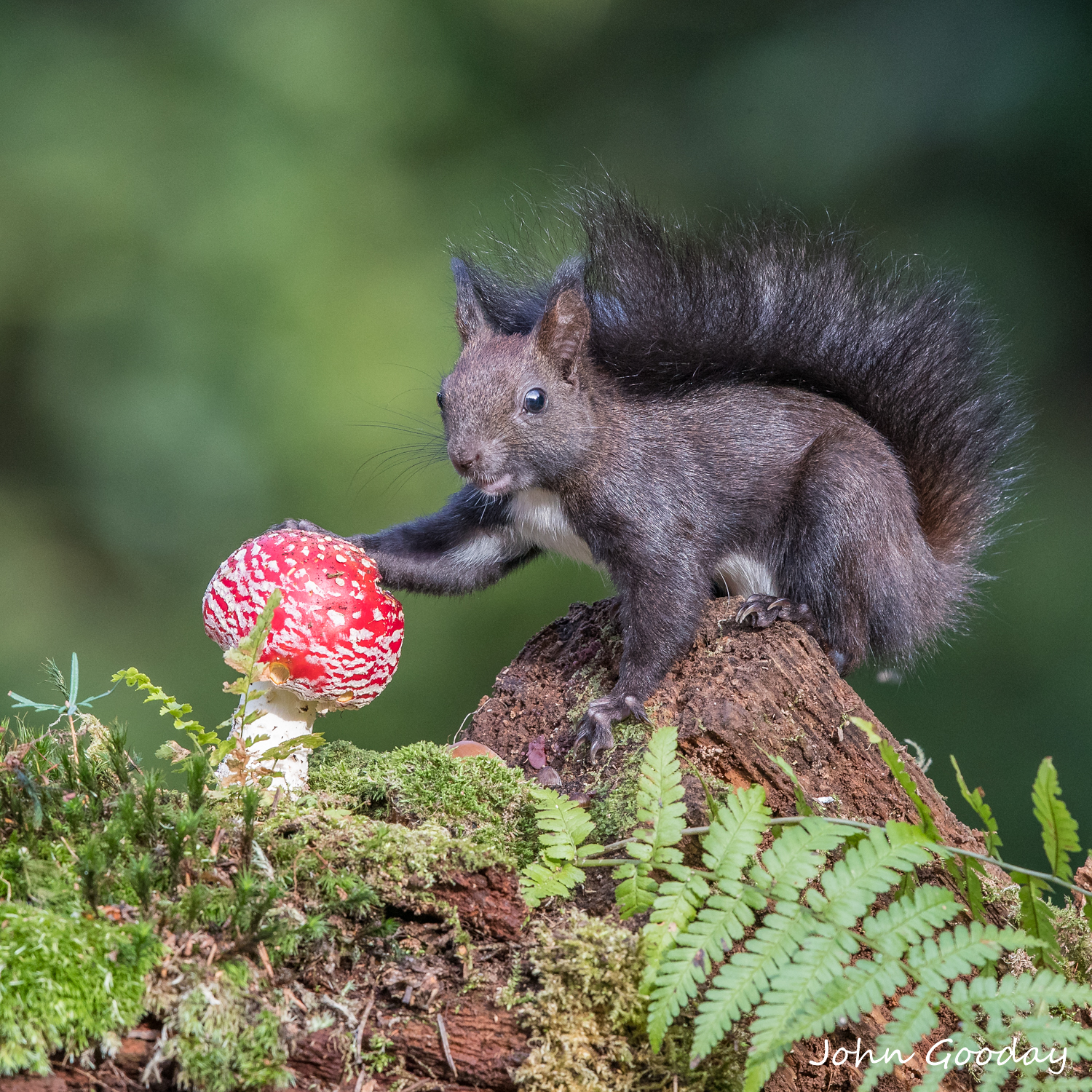 Photo 4: A Red Squirrel in the Viennese Forest, Austria, investigating a Fly Agaric toadstool. Thanks to my wildlife film maker friend Gunther for inviting me to photograph with him in the forest around his home.