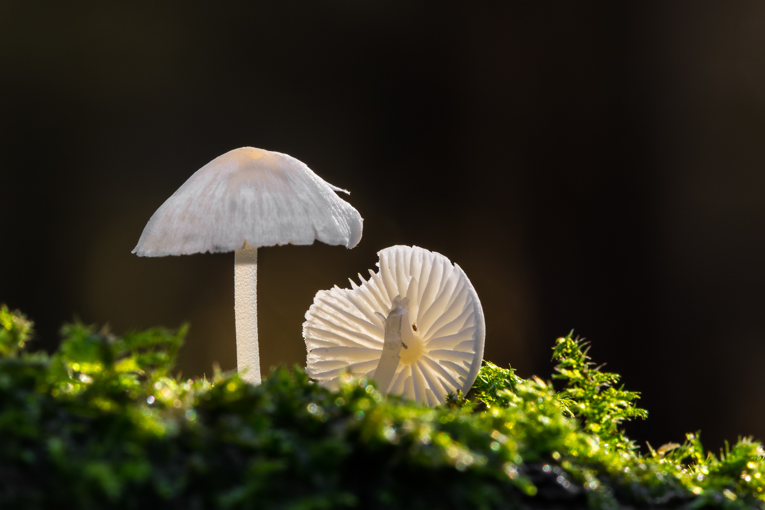 Photo 2: These Milking Bonnet fungi have been photographed using virtually the same technique as in the previous photo. The difference in this second shot is that I haven't angled the lens towards the sun to give a darker, smoother, flare-free background