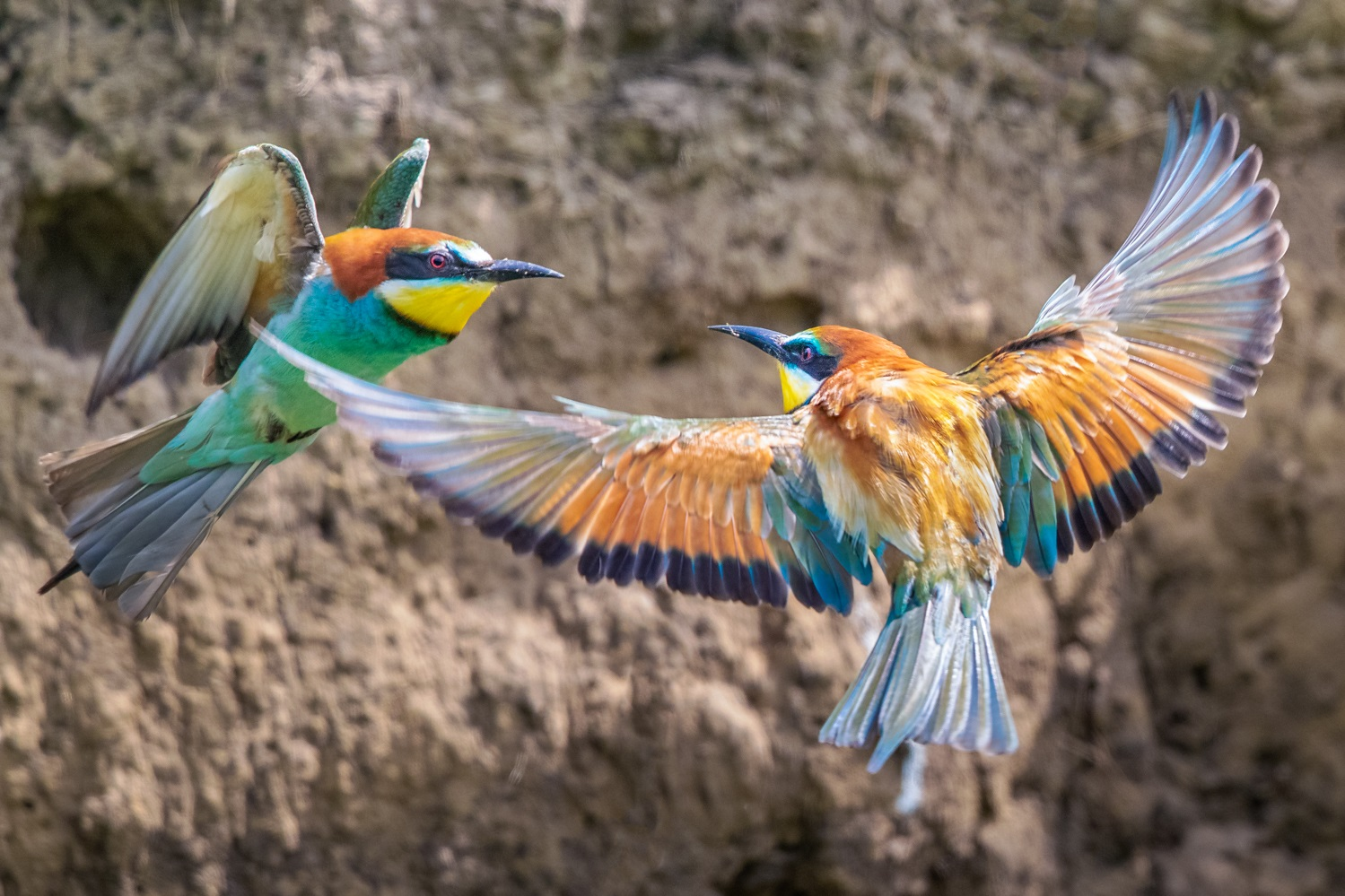 European Bee eaters fighting over a nest site, Hungary May 2019  1DX II, 500mm f/4 II + 1.4x III, 1/2500, f/7.1, ISO 2000, tripod with Uniqball head, pop-up hide