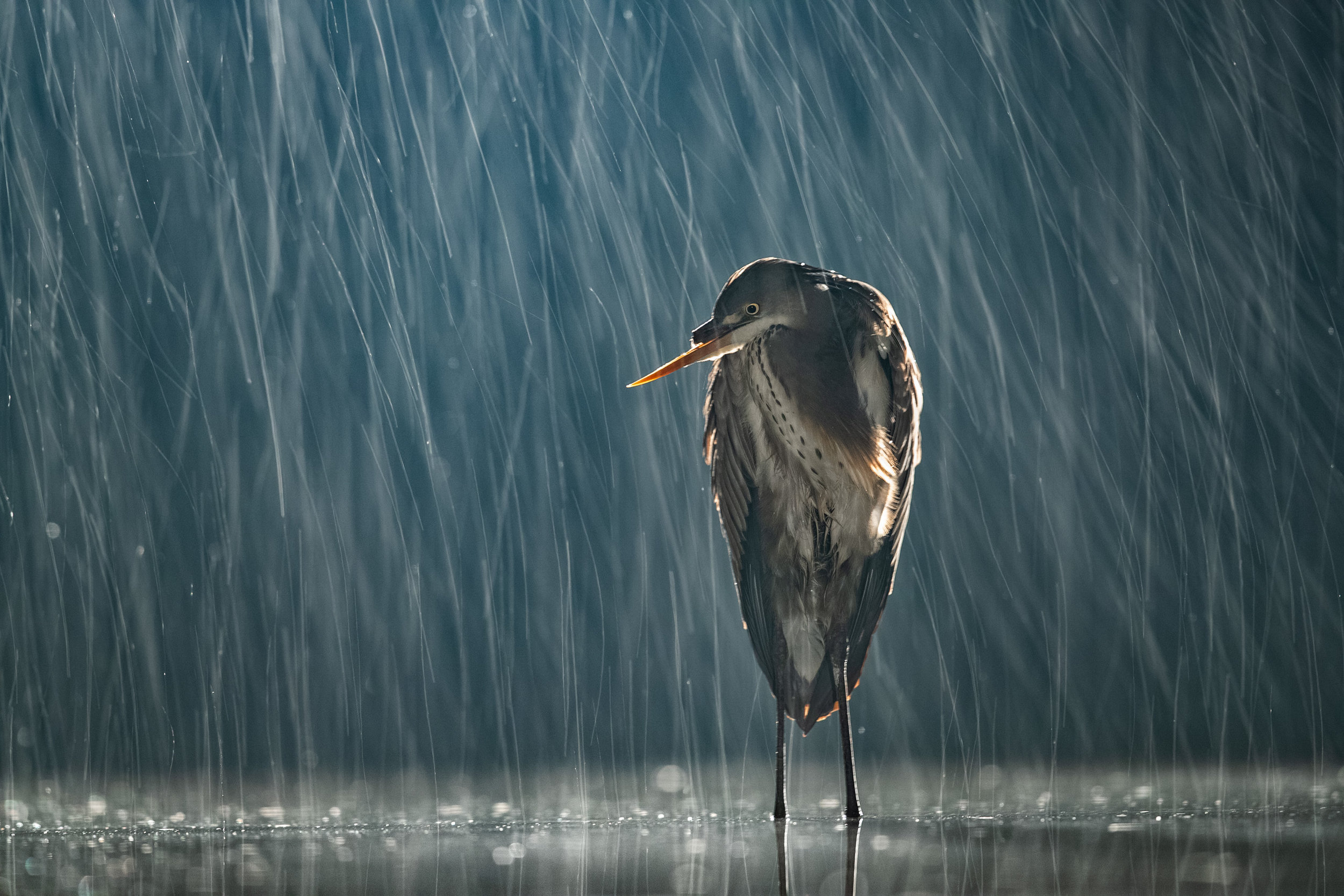 Grey Heron during a night rain storm this January, Kiskunsag National Park, Hungary. Using a very slow shutter speed of 1/3 seconds accentuates the rain turning the drops into arcing lines. A backlight illuminates the rain behind the bird nicely.