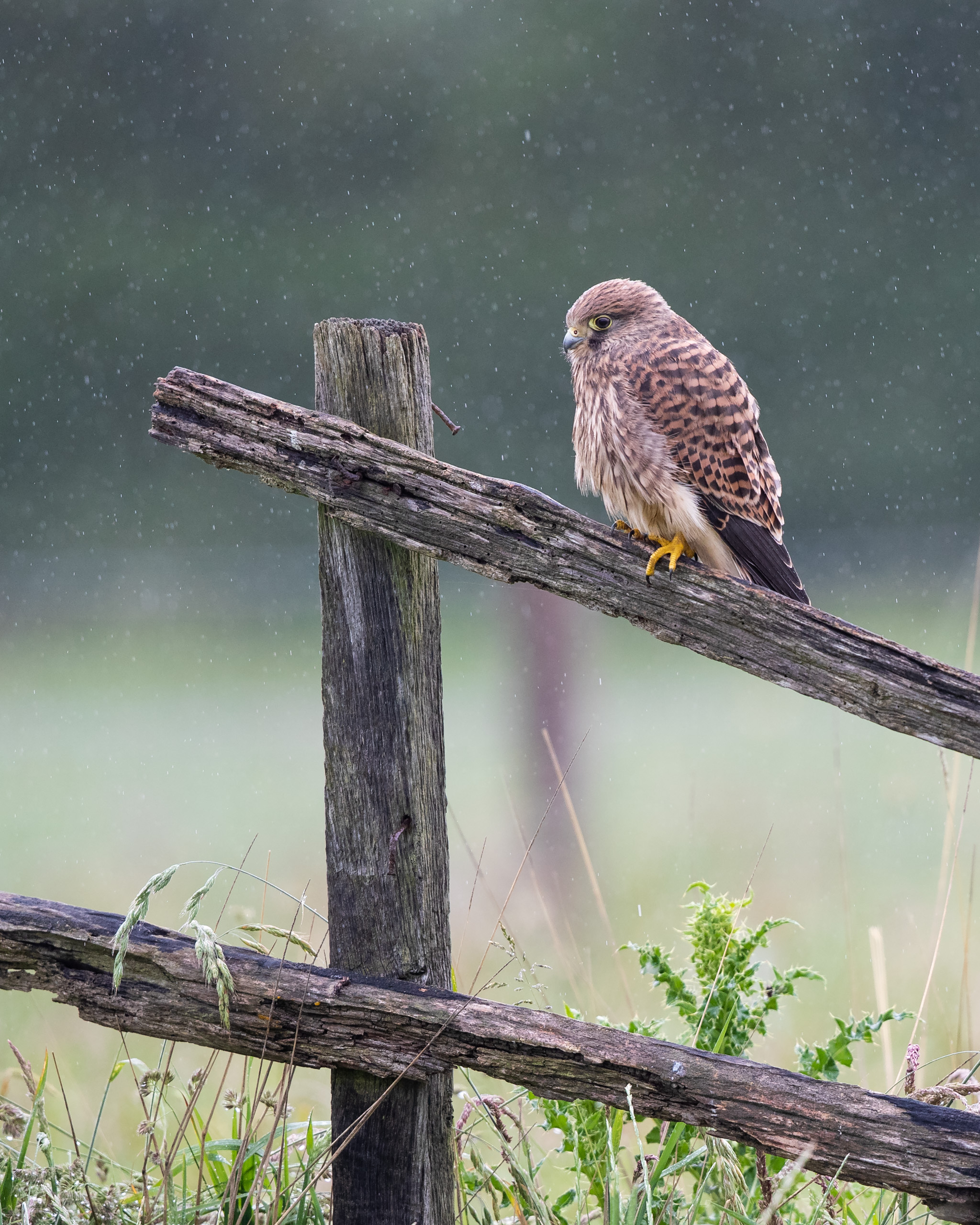 Image 01: Young Kestrel waiting for an adult to bring some food in last week's English summer rain. At higher shutters speeds (1/640 was used here) the rain can be frozen in the image to look more like drops. This was shot at Wildlife Photography Hides' 'Wired Hide'.