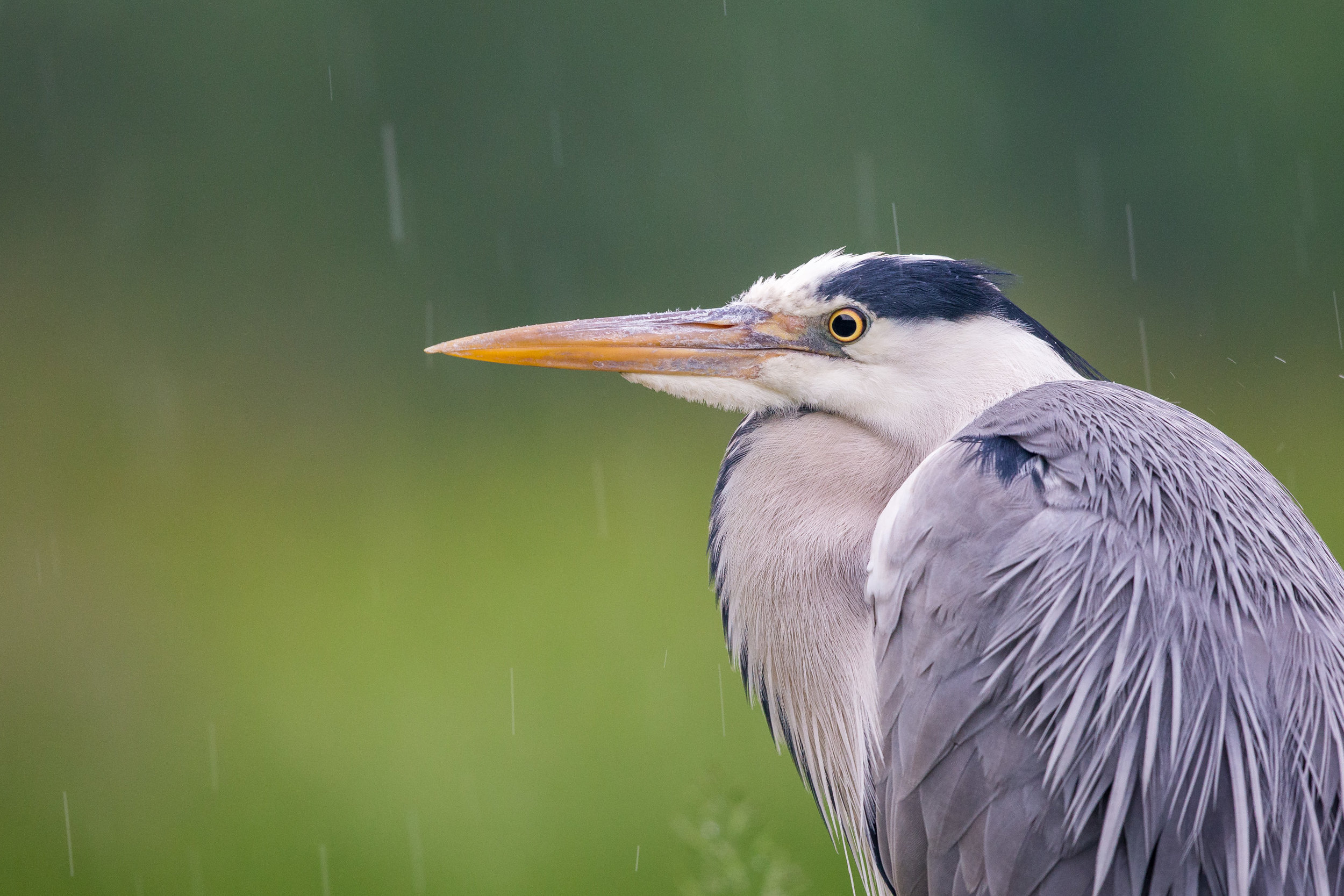 Image 02: Grey Heron during a downpour at Wildlife Photography Hides' Pond Hide