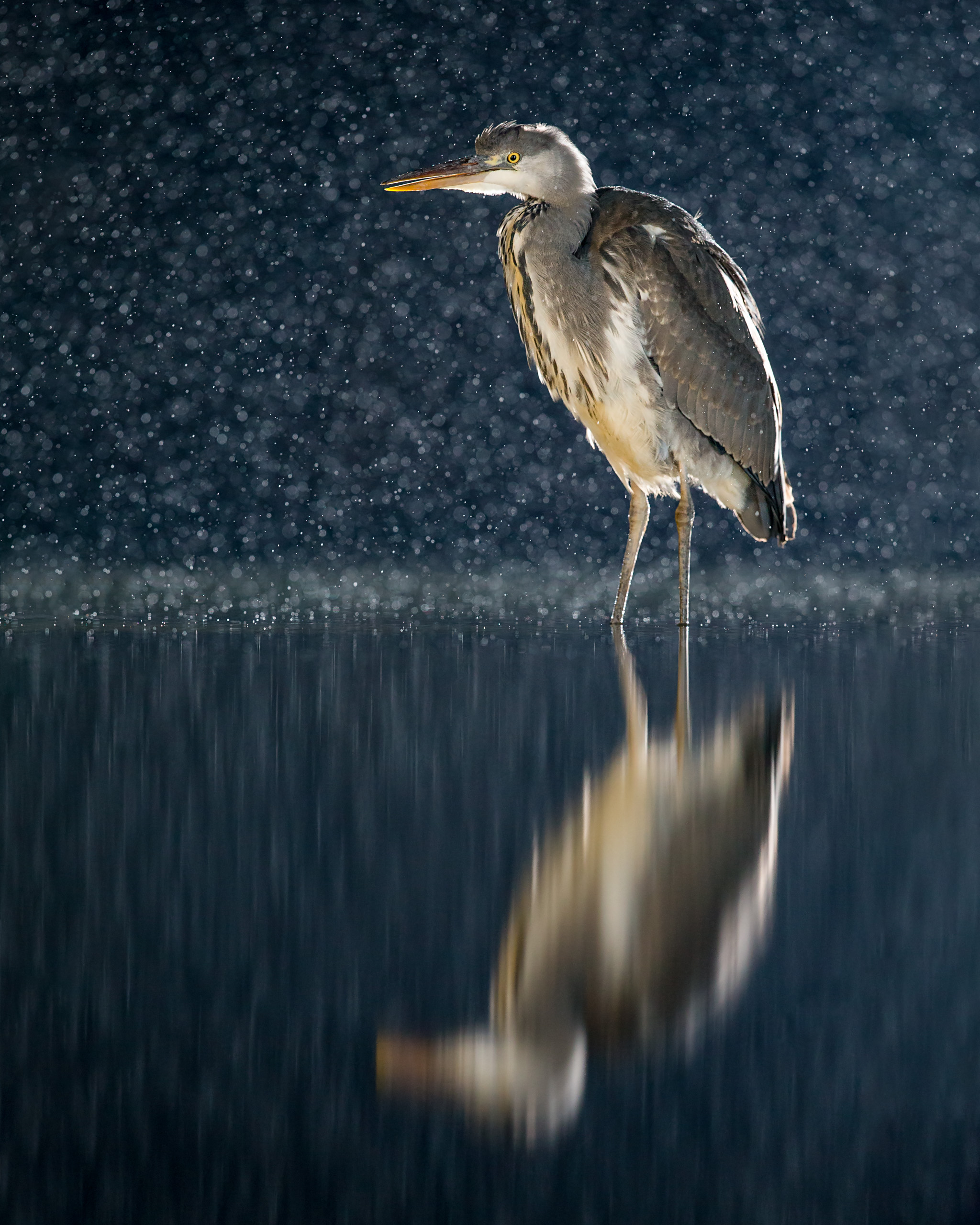 Image 04: Heron at night backlit with two speedlights, left and right high out of shot, and two front flashes to light the front of the bird. If you prefer a silhouette then you don't need the front flashes. Also taken at Wildlife Photography Hides' Pond Hide.