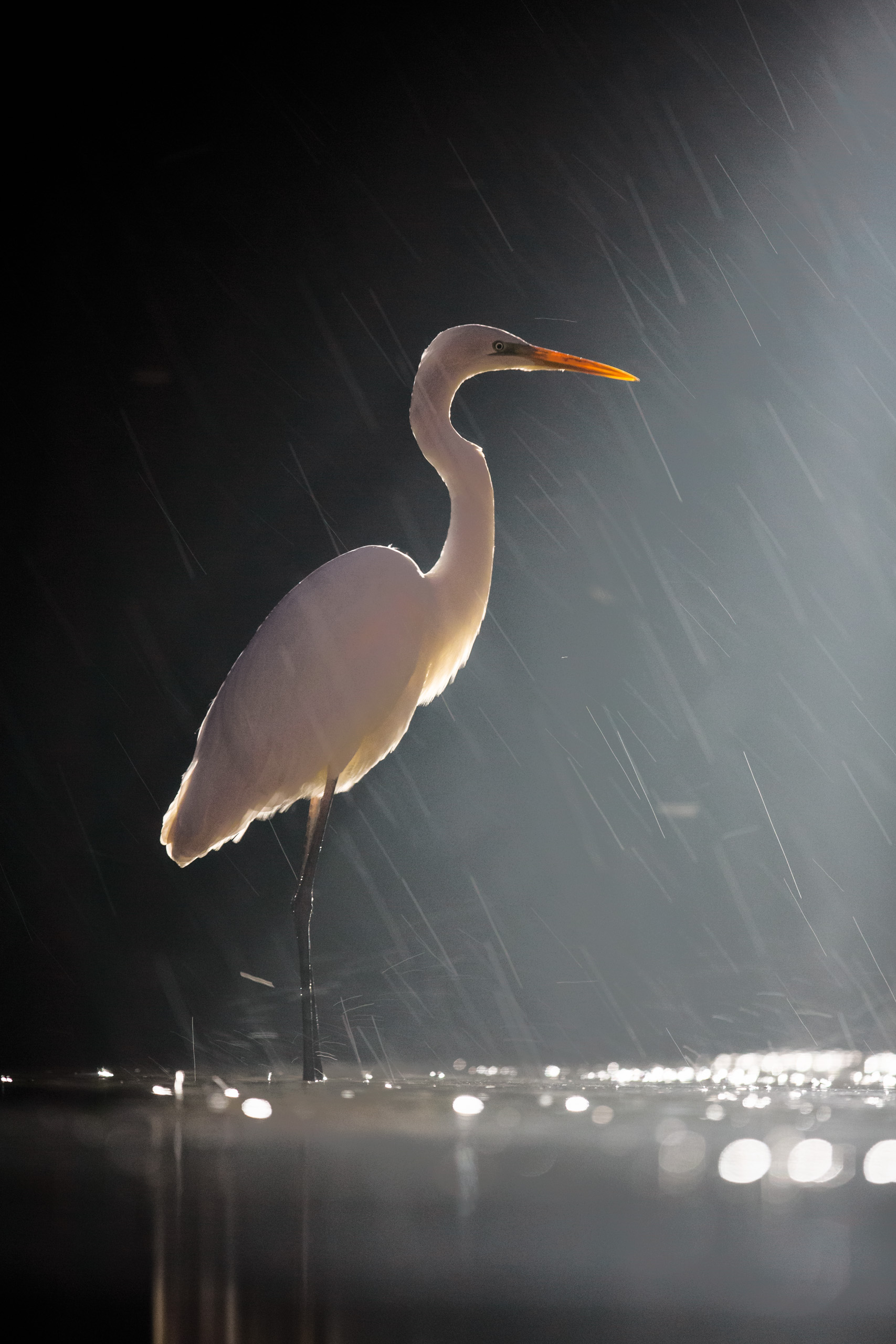 Image 05: Great Egret at night backlit with a 1000W spotlight to give continuous light. This allows us to capture rain streaks using a slow shutter speed (1/80 sec) which wouldn't be possible if we'd used a flash instead.