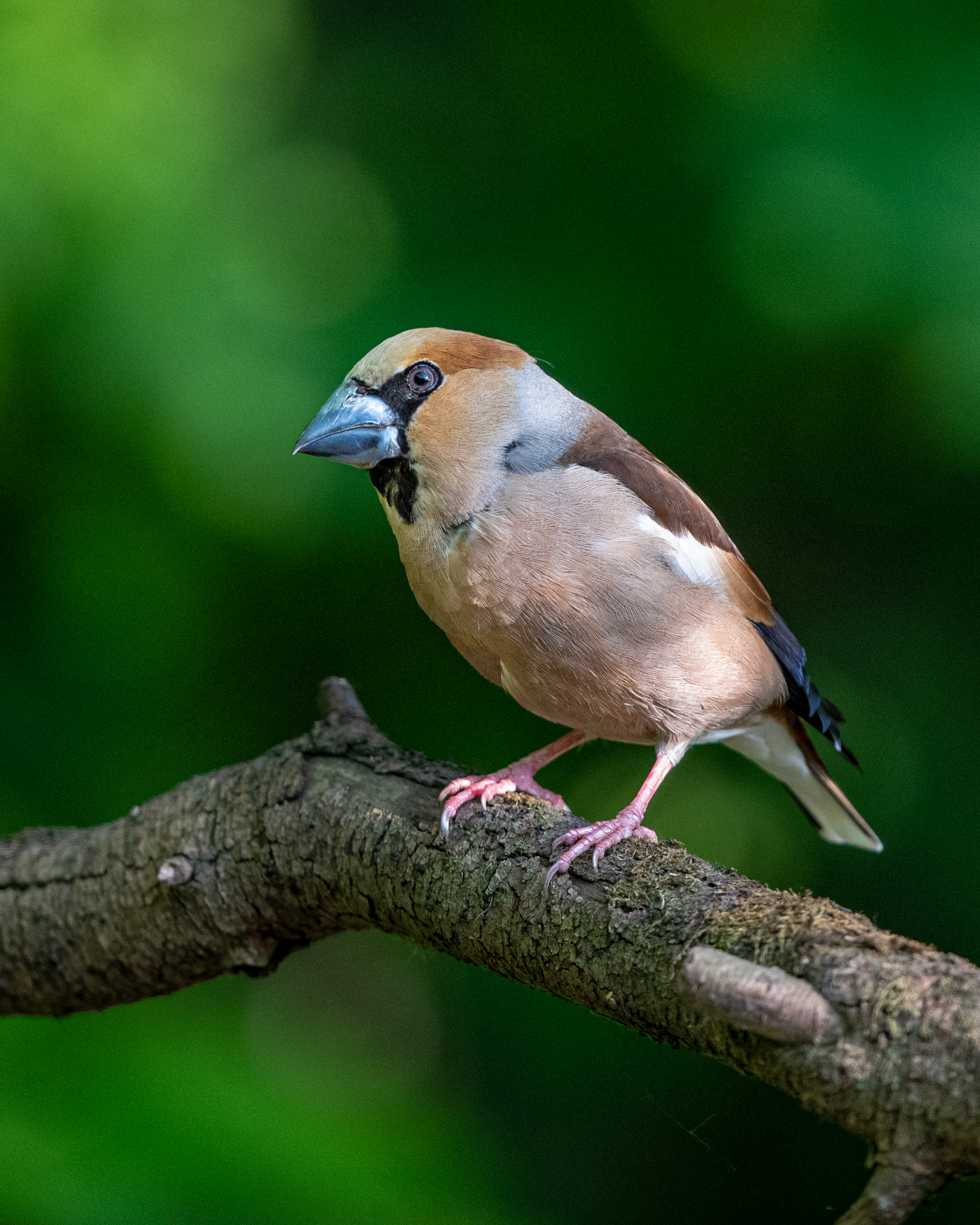 hawfinch noise reduction _A8I4282.jpg