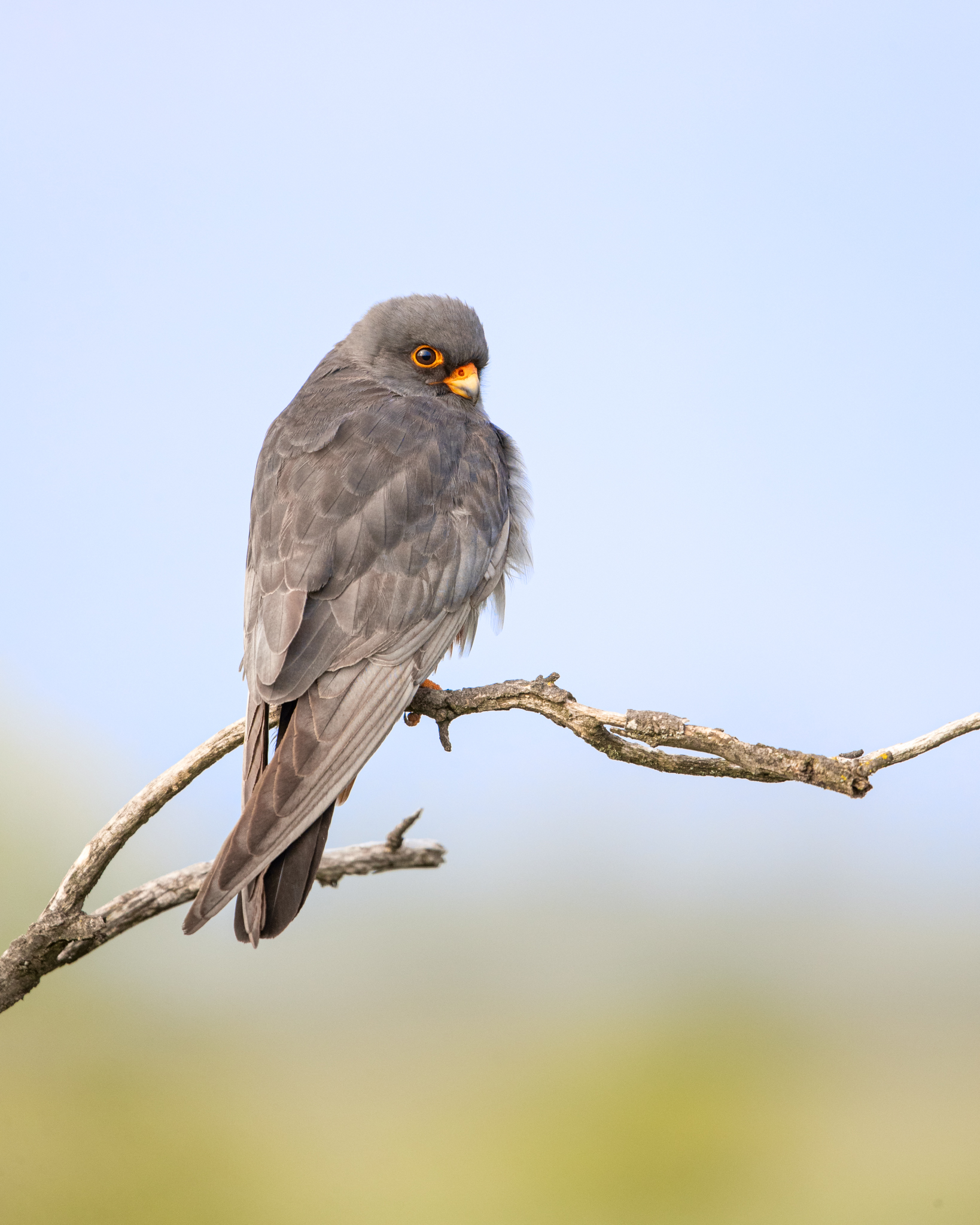 Red footed falcon lab color _A8I3131.jpg