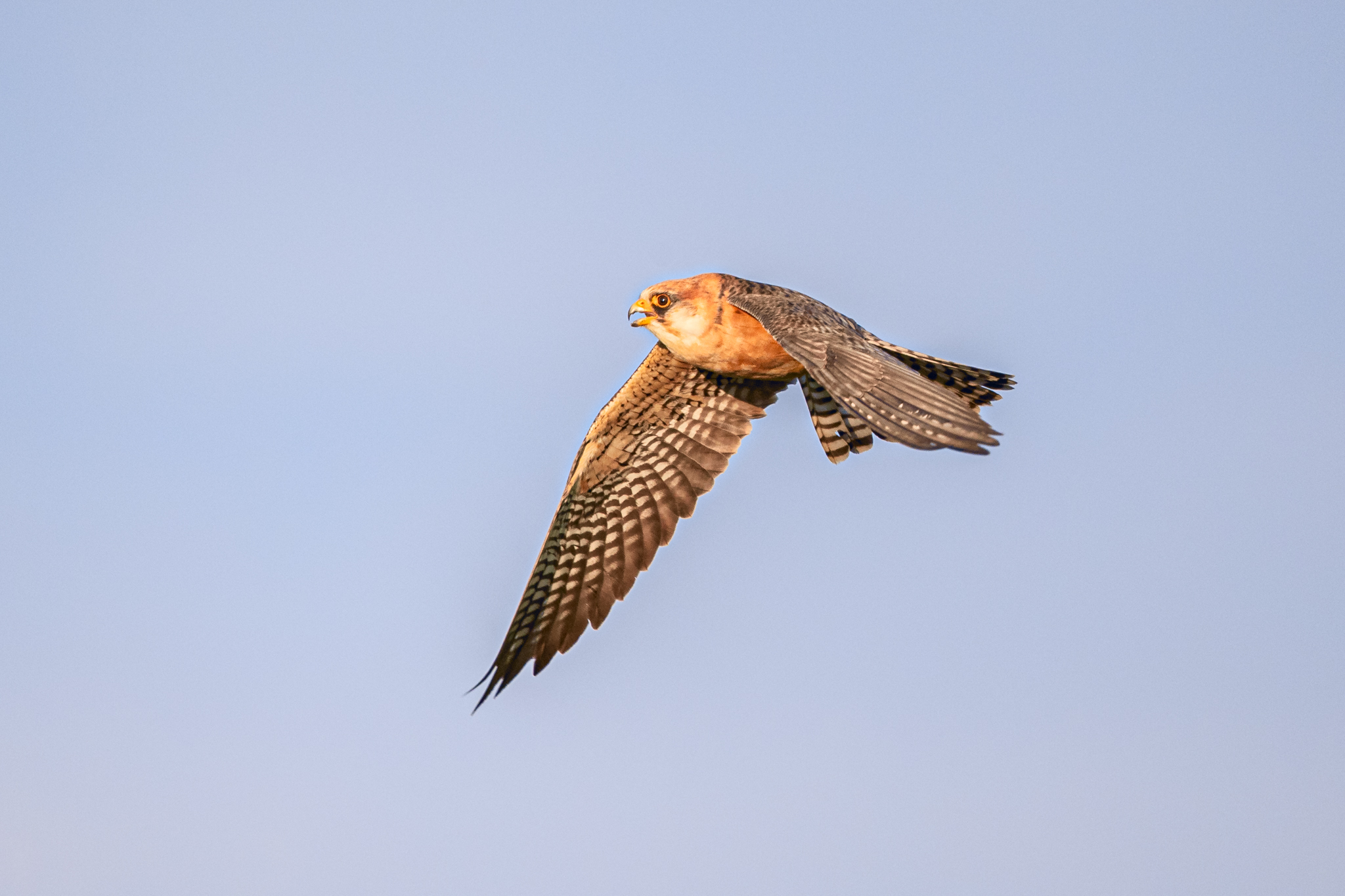 red-footed falcon flying lab color _A8I4882.jpg