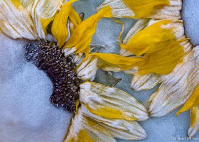 Sunflowers-I.jpg