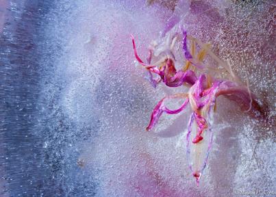 Pink Ladies-II.jpg