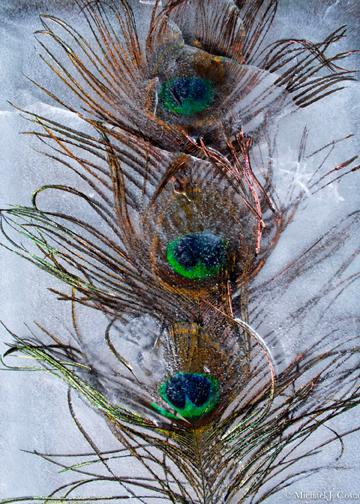 Peacock Feathers II.jpg