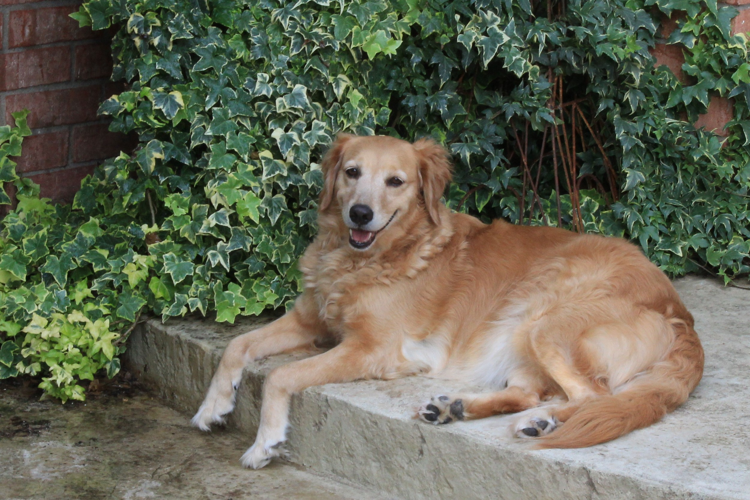 In honor of our sweet Lucy and all the Goldens who have found their furever home thanks to GRRNT! The Wittsche Family