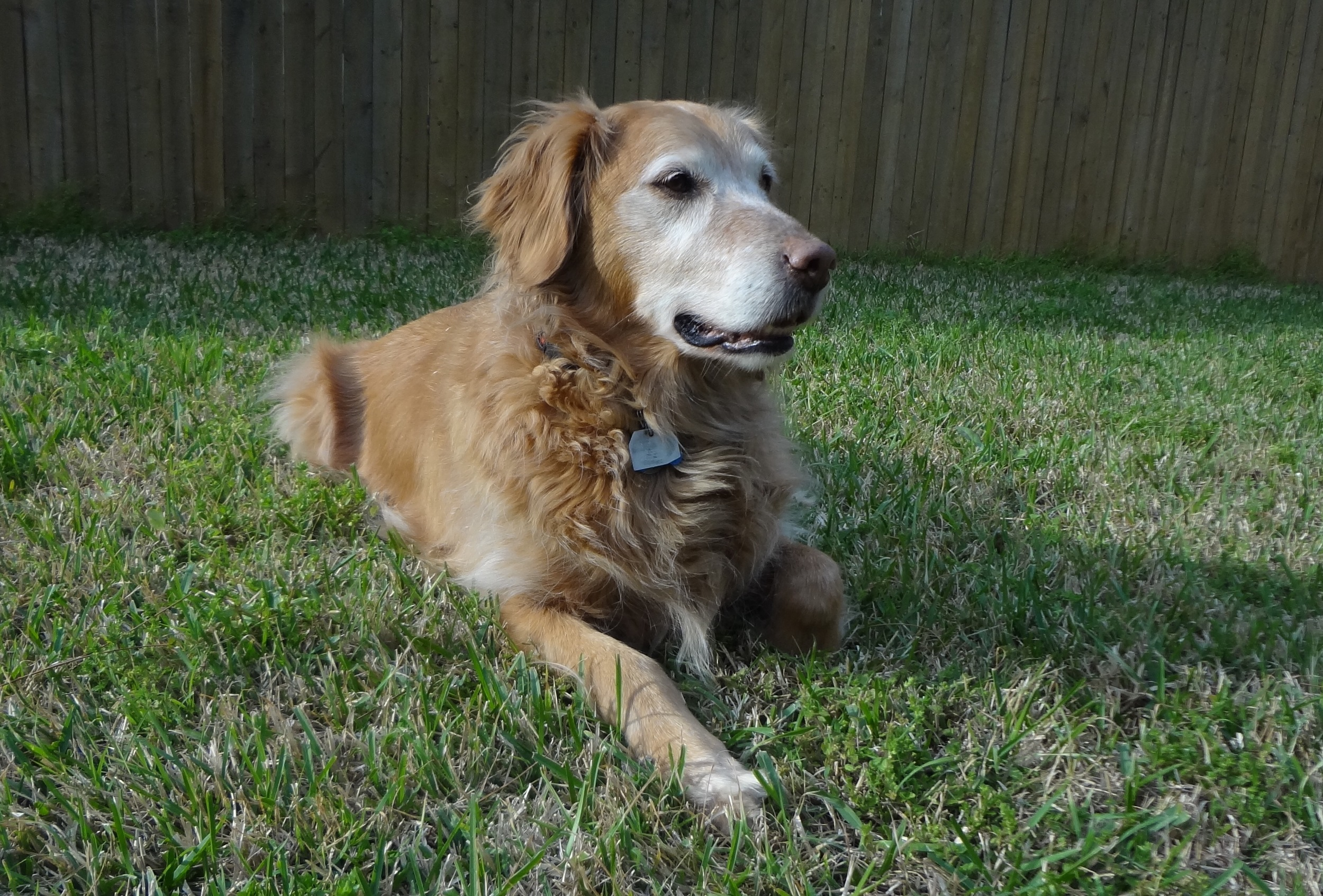 In memory of our wonderful Golden, Avery. We love and miss you every single day sweet boy.