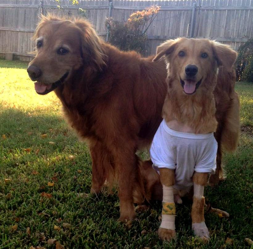 - Goose is so cute in his t-shirt and arm bandage after his surgery to clean up his wounds that are taking a while to heal. He sure does love his foster sibling!
