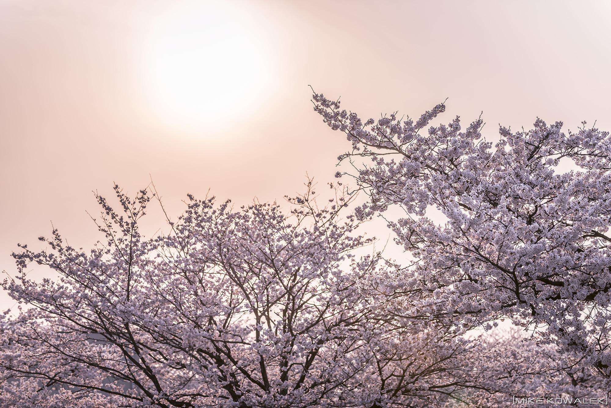 Sakura_Ujiie_2016_01.jpg