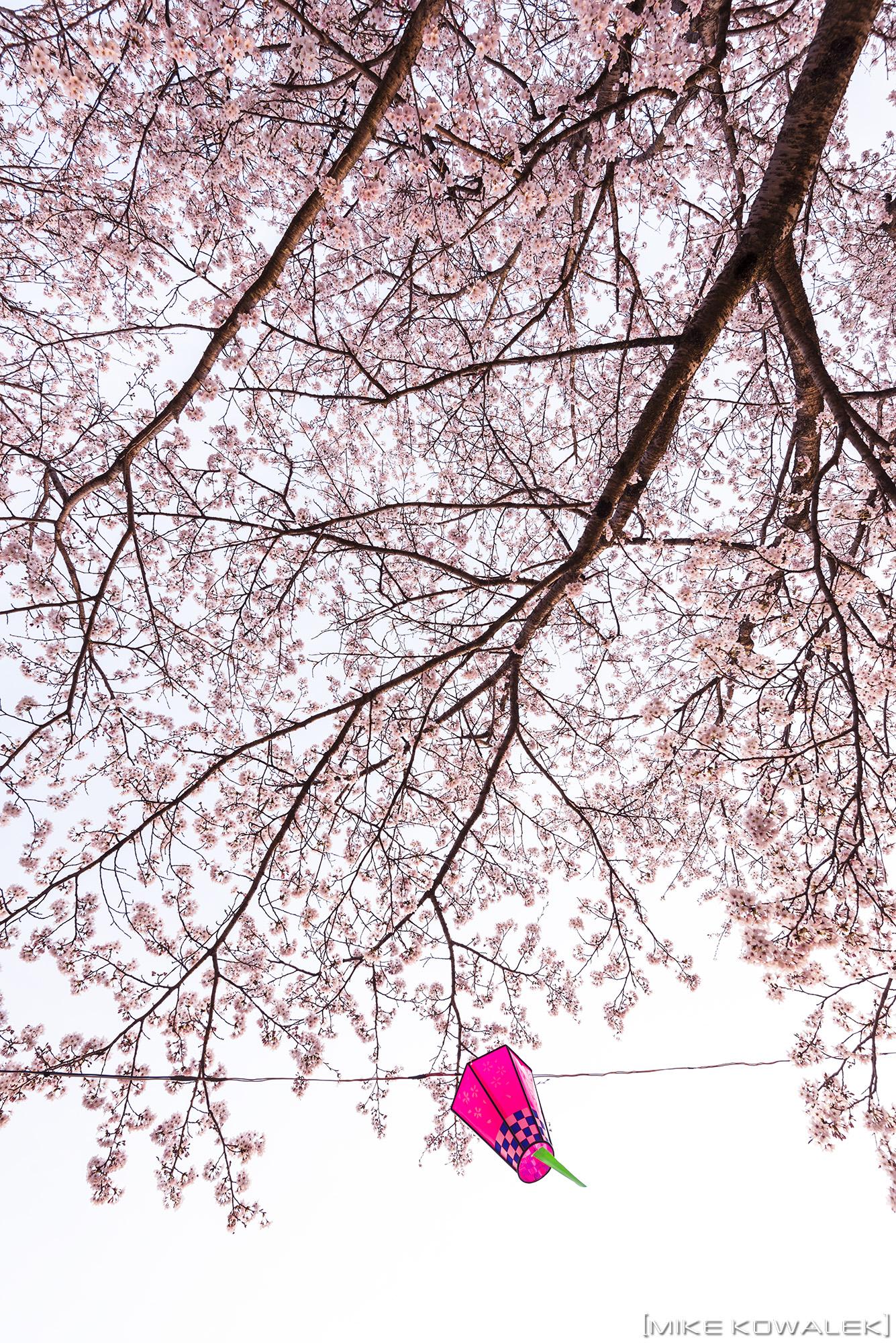 Sakura_Ujiie_2016_06.jpg