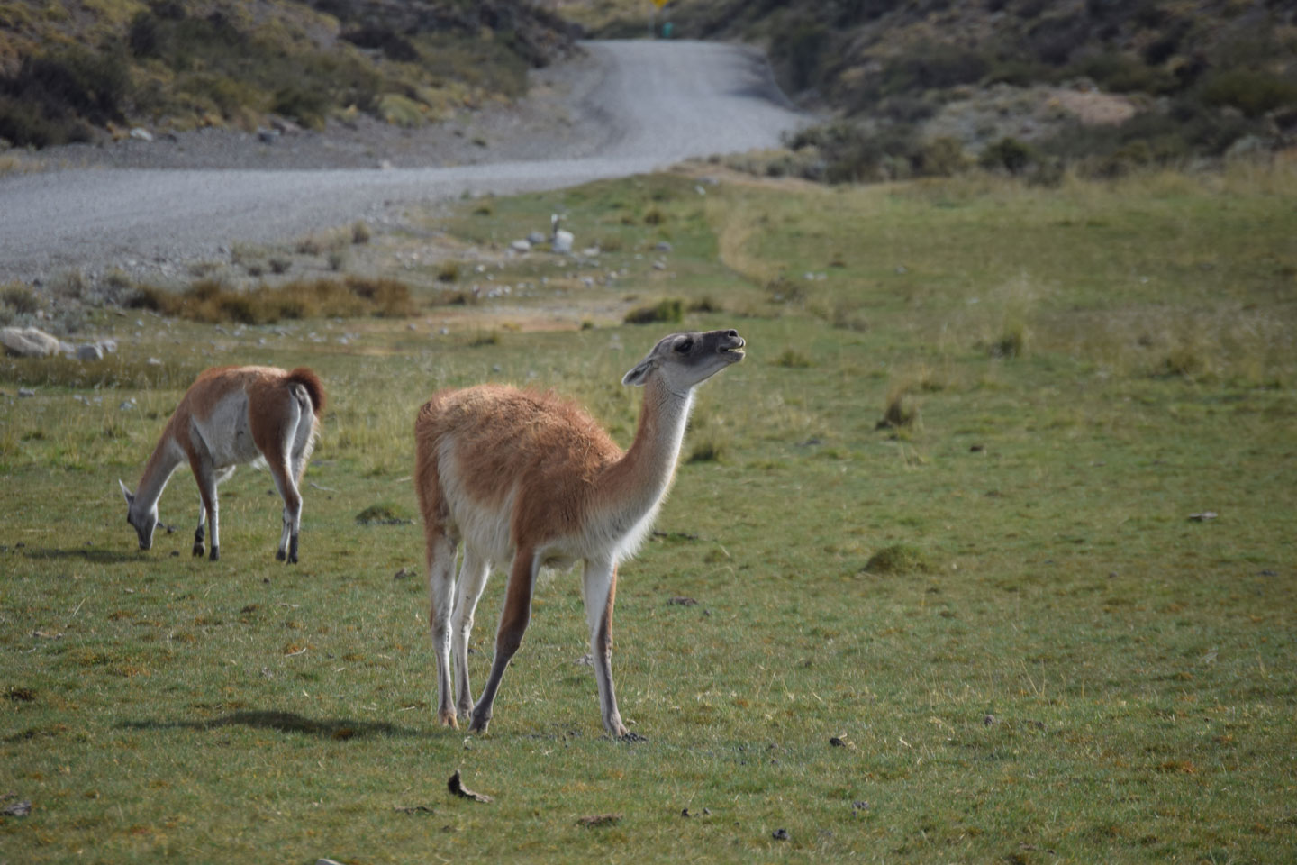 Young guanacos by the side of the road