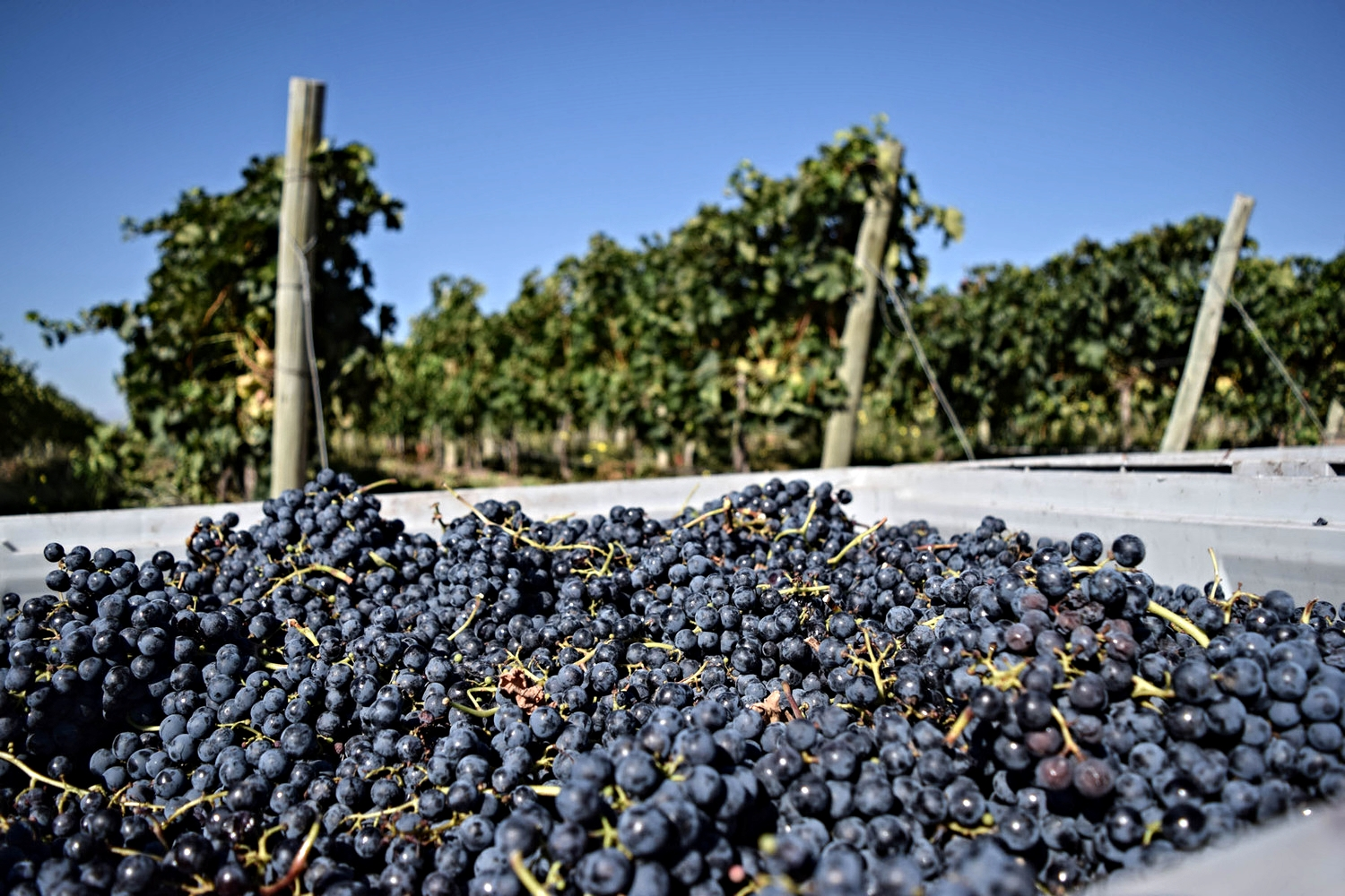 Harvest time at Finca  Ambrosia, a small production vineyard in the Uco Valley