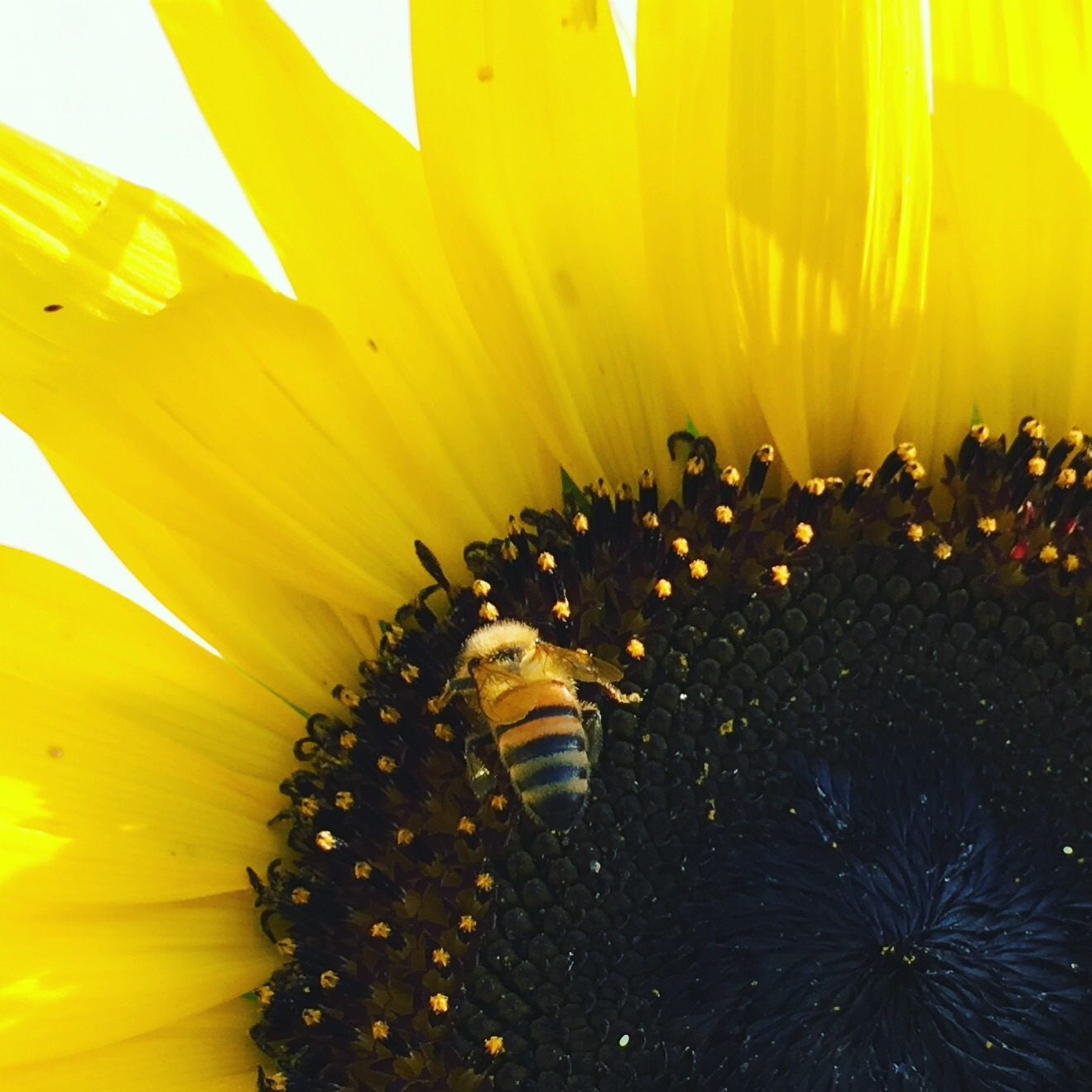 A drone bee on a sunflower
