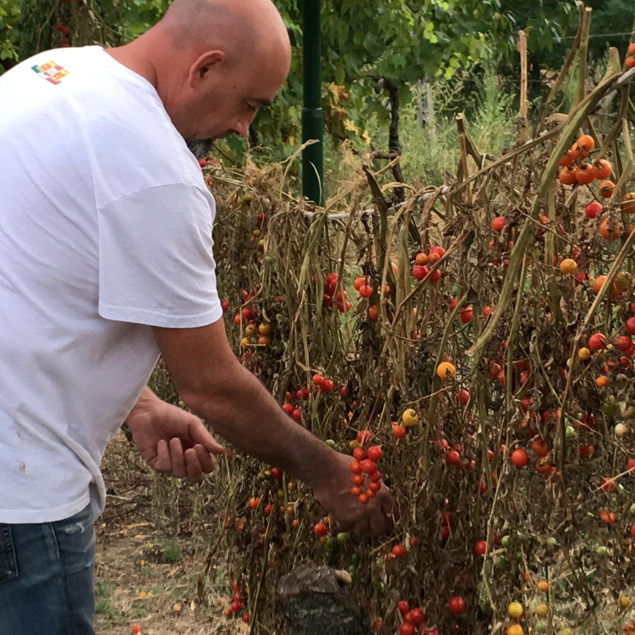 Luigi picking some cherry tomatoes.