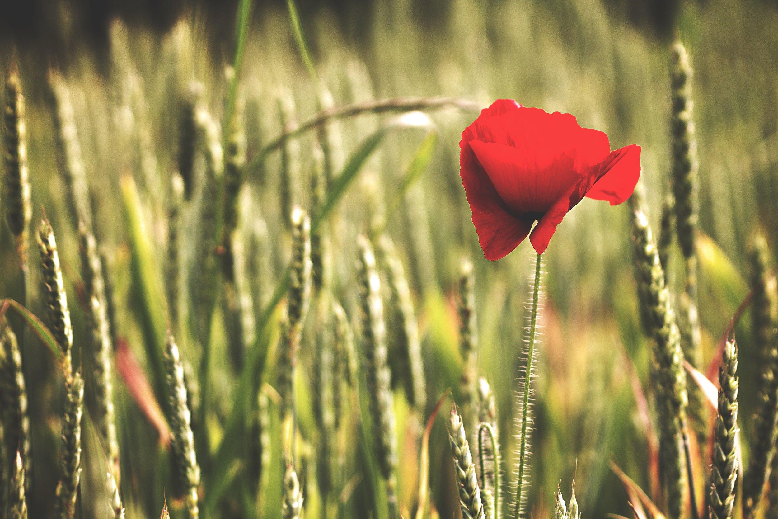red-poppy-in-wheat-field.jpg