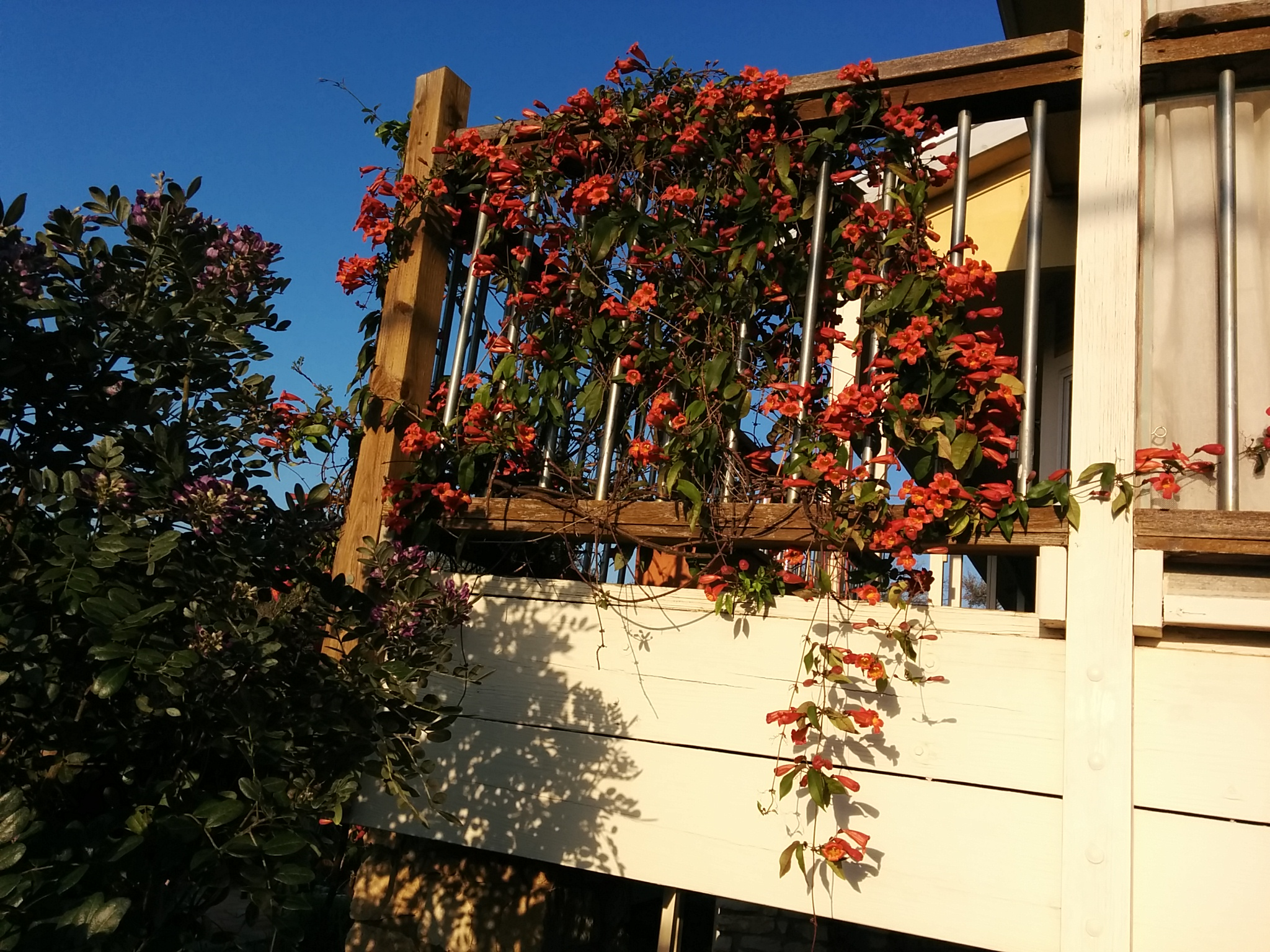 Crossvine in bloom - Bignonia capreolata