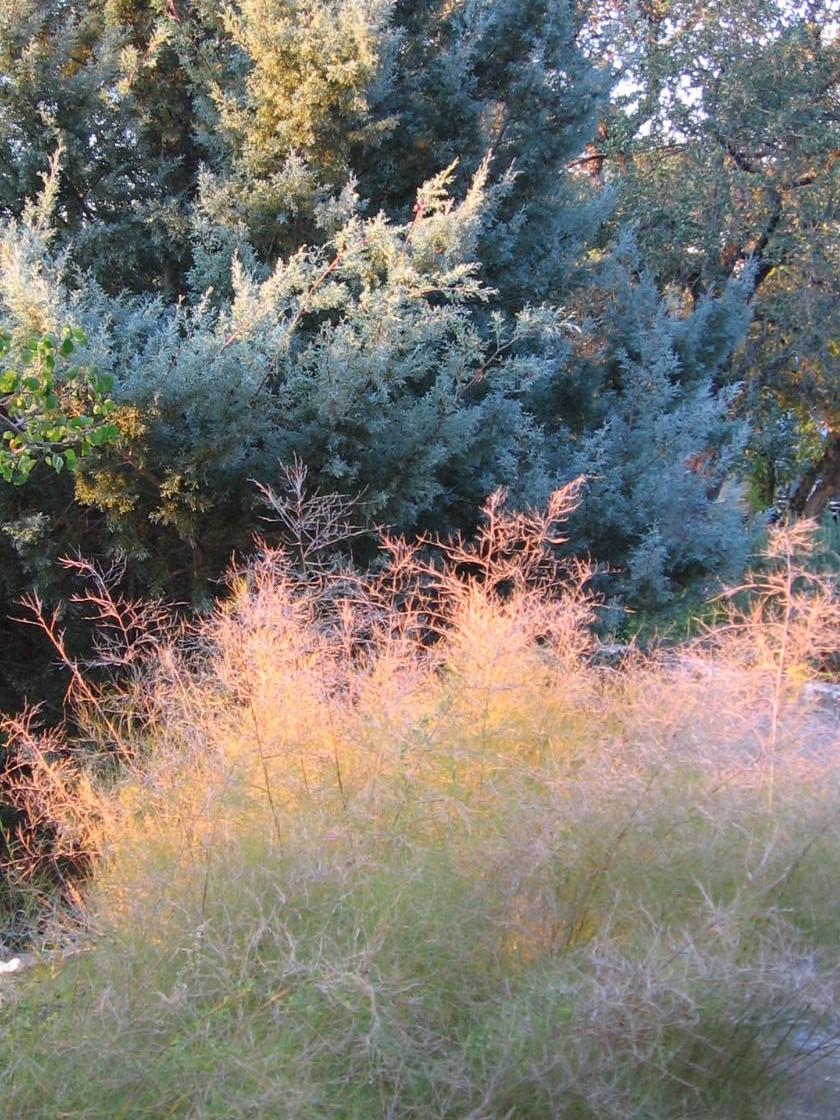 Bamboo muhly - Muhlenbergia dumosa - in front of Arizona cypress along driveway