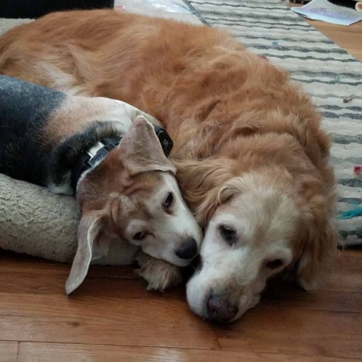 Over 15 years ago, we adopted our golden from you. I knew that he was meant for us the moment we meant. it was love at first sight for sure!!! I wanted to thank you for blessing us with the most handsome, most gentle dog i have ever met! He was over 16 years old. We did the hardest thing ever today. He could hardly walk anymore and the vet said his muscles were starting to atrophy, Yet, our little angel tried to comfort us up to the very end. We all stayed with him up till the end no matter how hard it was for us to let him go. It was even harder for me to walk out of the room. I know he is at peace, I know how deeply we loved him and he loved us. He was an amazing creature who blessed us every single day. Thank you all for what you do. Thank you all for giving us our Ringo. My life is so much better having had him in it.