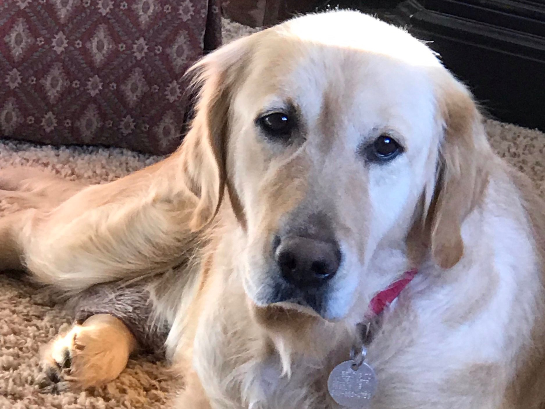 """This was written by Hannah's adoptive home.    We are so proud of Hannah. She doesn't seem to be stressed at all. When we first got home she laid down in the hallway, but after the dogs, my husband and I settled in the main room and started to read, she came in, went to the toy box and got a tennis ball, then plopped herself down. Every now and then she has been going to my husband and sits next to his chair, wanting him to pet her. When he does, you can hear her tail go thump, thump, thump. My husband is so happy. Right now, as I write this, she is laying next to me where I am on the couch, and wants to be petted! If I'm petting her, and then stop to lie down, she sits up and looks at me as if to say, """" Hey... Why'd you stop petting me"""". Then there's the tail wagging again. She's got some happy tail wagging going on! I love to see that.  Our dog Olive follows her around. I've never seen Olive this relaxed and laid back. I'm truly stunned. It's like she's bringing Hannah out of her shell. It's almost like Olive knows when to comfort her and when to let her be.  Yep! Hannah is going to fit in this little zoo of ours just fine!"""