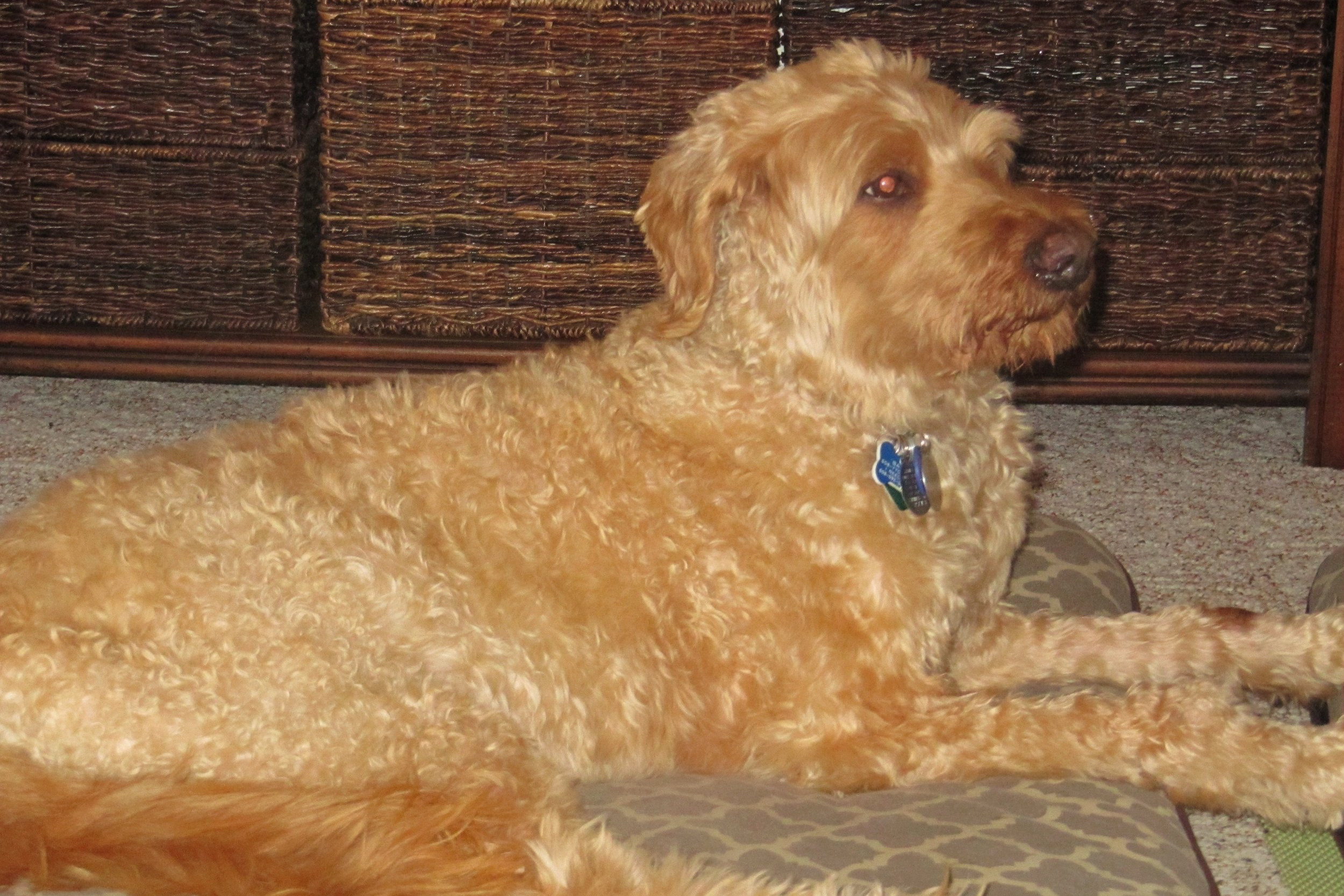 """We lost Banjo, a 14.8 year old bonded-goldendoodle, on December 3, 2018. When we returned home without Banjo from the vet clinic, the house was, of course, way too quiet. His bonded-buddy, Jack, was very subdued and stuck close to us for several days. It was amazing to us that Jack seemed to intuitively understand that Banjo was gone and wasn't coming back. We had been worried about how Jack would handle Banjo's absence; but, he was busy figuring out his new relationship with us as being our only dog.  We only had the privilege of having Banjo with us for 18 months before we lost him. He was a mellow, sweet dog who enjoyed eating, getting petted, sleeping on one of his dog beds (in the living room or in the bedroom) and being with his pack which was comprised of Jack and us. We are retired so we were able to spend more time with both dogs than a working couple could have. We are grateful for this since his time with us was so short.  Banjo's one vice was that he would tear up things after we left the house, He never tore up anything of value; it was always some small thing with our scent on it. Banjo made it clear that he liked having his pack intact...and at home with him. We tried several approaches to stopping this behavior; but to no effect. So, we began to pack or put up things that we knew would attract a """"Banjo attack"""" and this worked the best of all of the approaches that we tried.  Banjo loved people and always expected everyone to love him back. He assumed that everyone wanted to pet him and would lean on people's legs in invitation if they didn't make the move to pet him first. Also, he loved our little grandson and was very patient with the clumsy exploration that babies make towards dogs. We never worried about a negative reaction from Banjo. We so appreciated this about him.  Banjo was a special dog whom we miss like crazy. We love you, Banjo!"""
