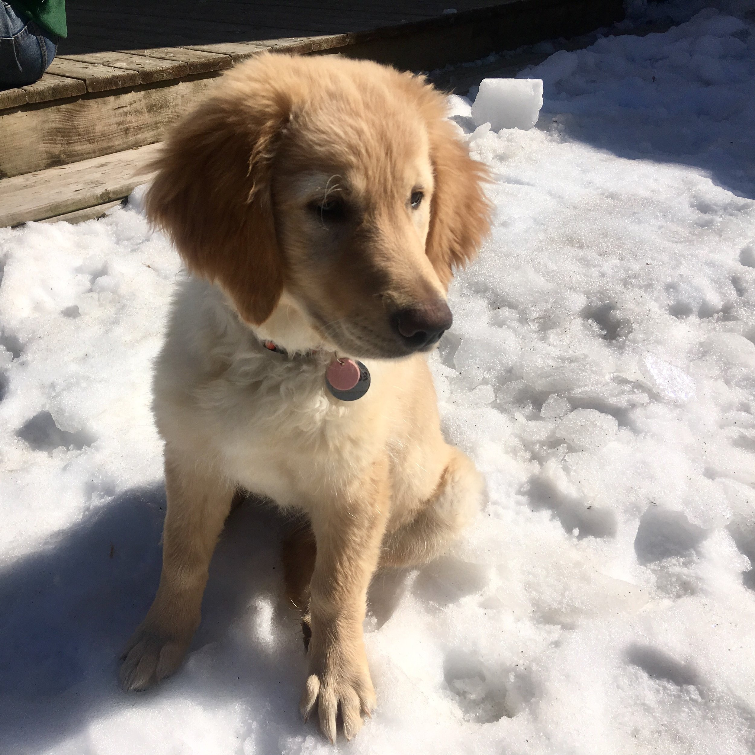 """Hi everyone...Aspen checking in. The biggest news since my last update is that I have grown...a lot! I am now over 33 pounds and growing more each day. The vet says I am going to be a BIG golden girl! I have also shed most of my puppy fluff and am growing in my beautiful wavy golden coat as well as fur feathers on my tail and legs. I am very happy-go-lucky with just a pinch (or maybe three or four) of mischief. I love, Love, LOVE meeting new people and have yet to meet a person that does not instantly become my new """"bestest"""" friend! My favorite thing to do is taking each toy out of my toy bin and spreading them throughout the house. When my foster family puts the toys back in the bin, I just take everything out again. (I'm not sure my foster family truly understands the """"toy chic"""" interior design style I am trying to achieve in the house!) I should be ready for my adoption day in less than a month. To my new family - please have LOTS of toys ready! I know you'll absolutely love how I re-decorate your home!!! Lots of puppy licks and love are sent your way!  ~Aspen"""